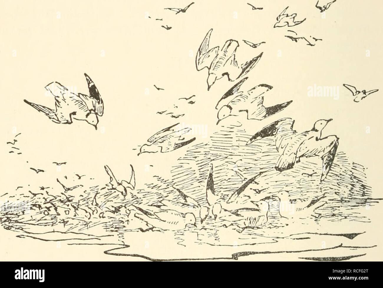 . Die Vogelwarte Helgoland. Birds -- Germany Helgoland; Birds -- Migration. 468 Wiedehopf. doch stets nur in sehr wenigen Stücken hier vorkommen; von Mitte April bis Mitte Mai werden höchstens sechs bis acht dieser Vögel gesehen, meist weniger, und im Herbst manchmal ein oder zwei, es verstreichen jedoch oft mehrere Jahre, ohne dass auch nur letzteres geschähe. Als Brutvogel ist der Wiedehopf verbreitet vom westlichen Europa an durch ganz Asien bis Japan. Nördlich nistet diese Art höchstens bis in das südliche Schweden, dennoch aber ward wunder- barer Weise im Jahre 1868 ein Exemplar auf Spitz Stock Photo