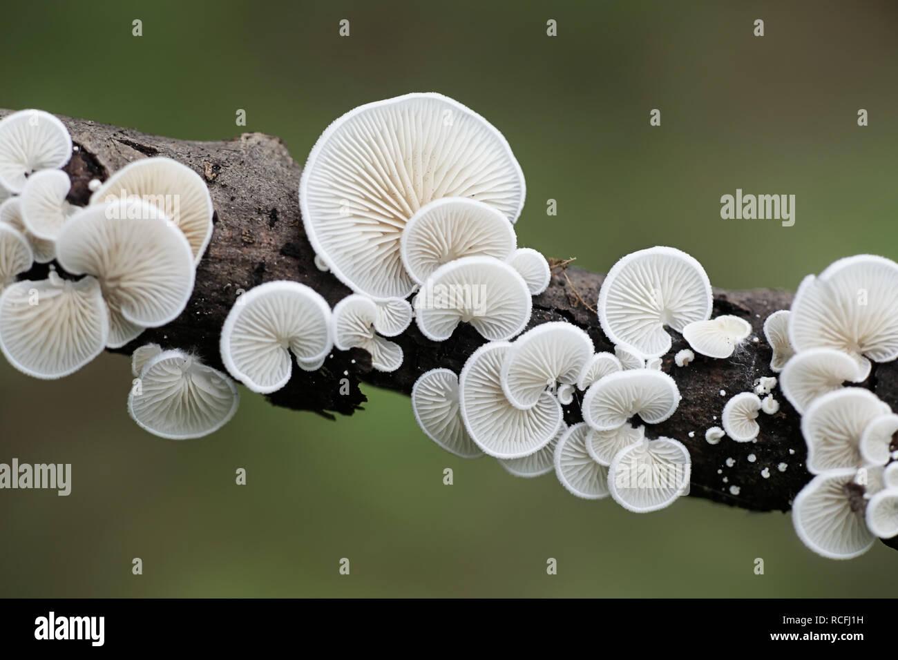 Evasive agaric, Crepidotus sp - Stock Image