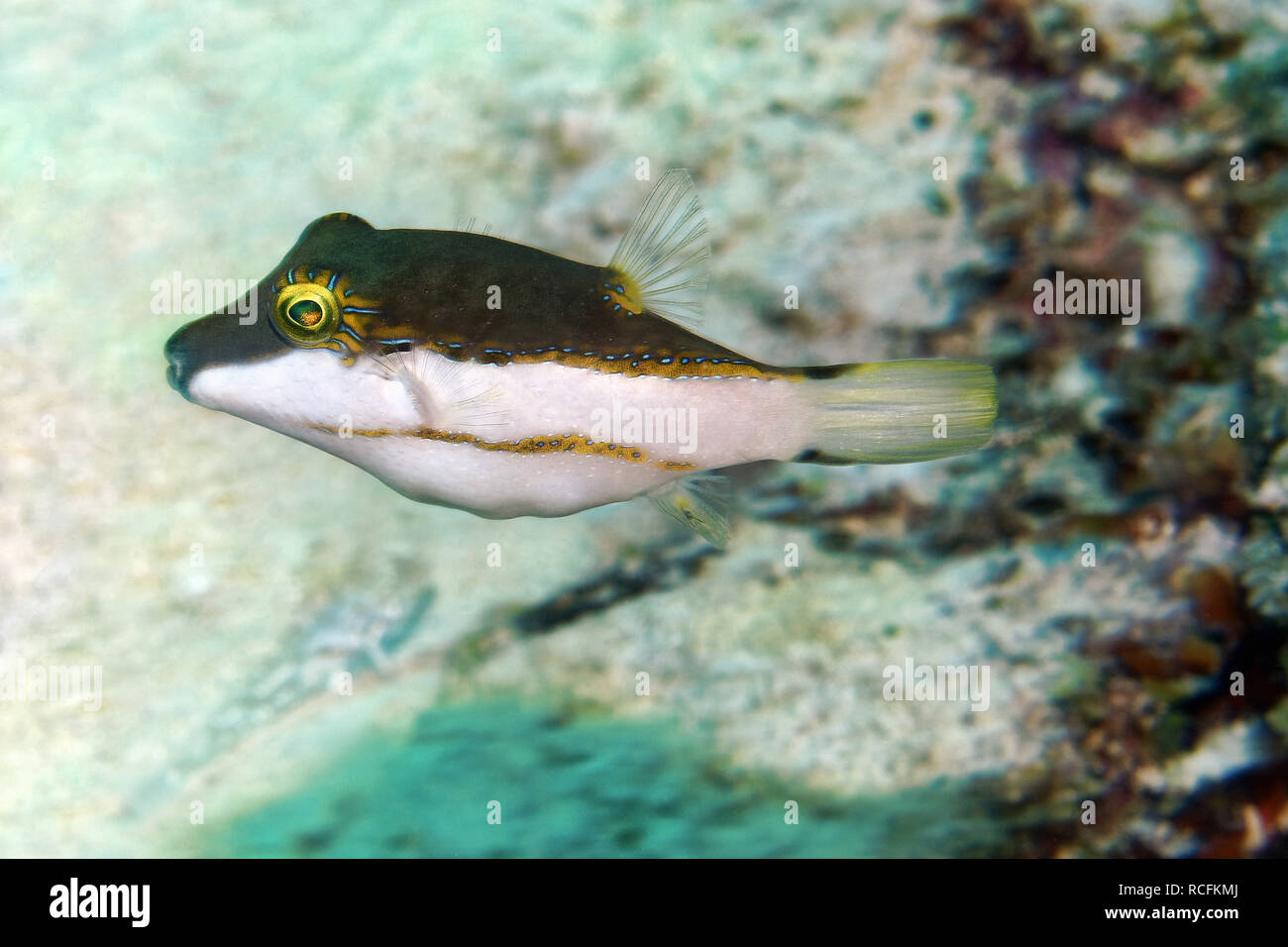 Bicolored toby - Canthigaster smithae Stock Photo
