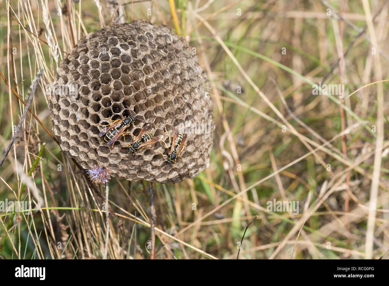 Heide-Feldwespe, Heidefeldwespe, Feldwespe, an ihrem Nest, Polistes nimpha, polistine wasp, Faltenwespen, Feldwespen - Stock Image