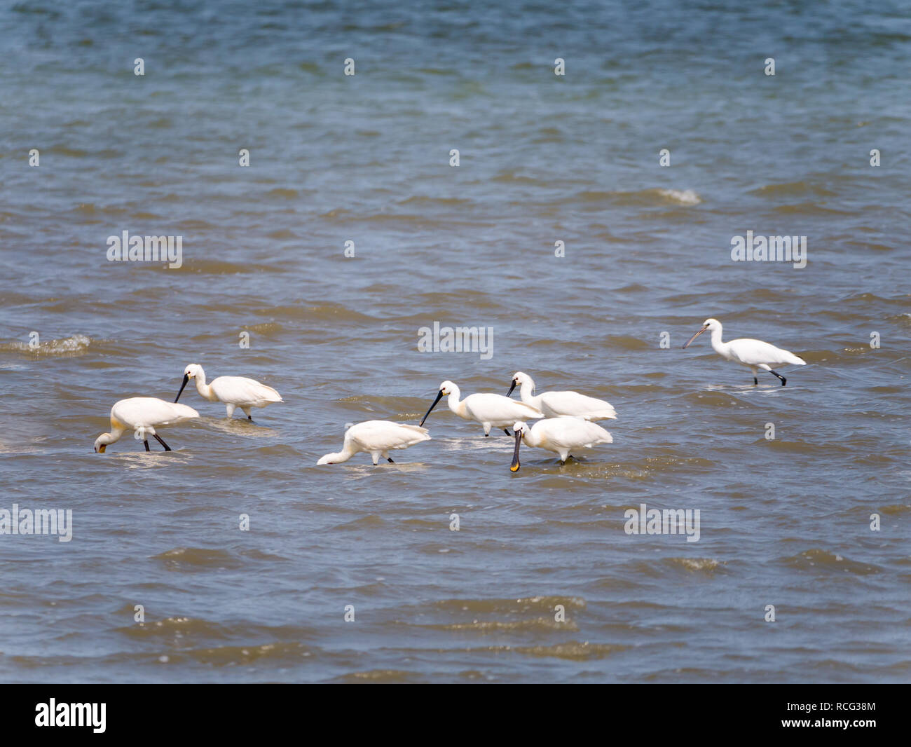 Group of Eurasian spoonbills, Platalea leucorodia, feeding in shallow water at low tide of North Sea, Netherlands Stock Photo
