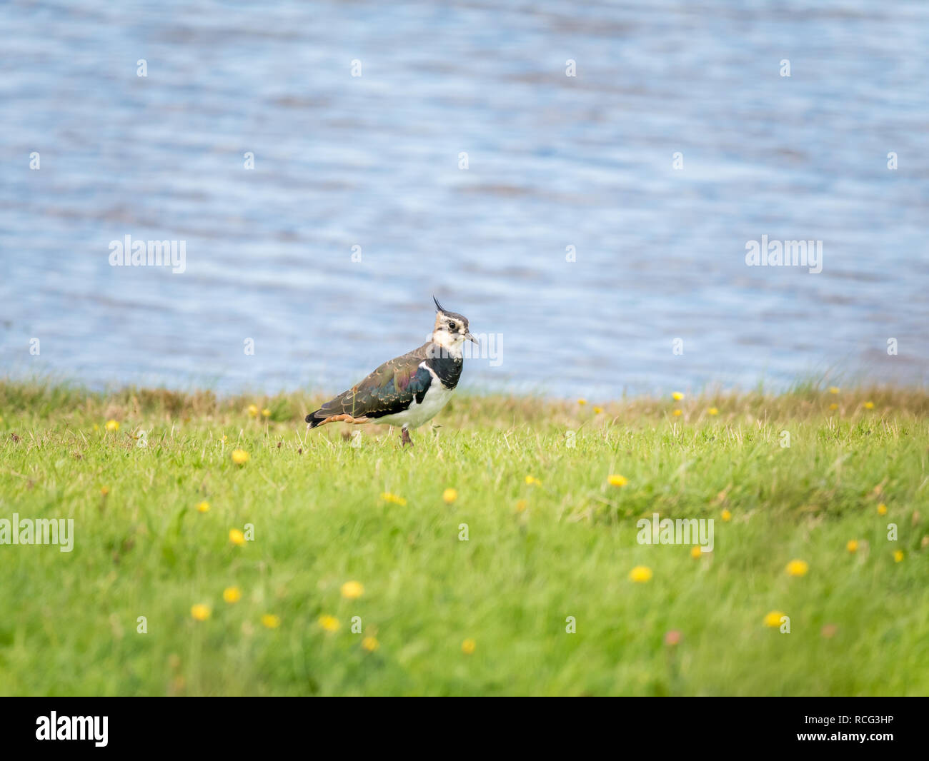 Portrait of northern lapwing, Vanellus vanellus, in grass near water, Netherlands - low depth of field, selective focus Stock Photo
