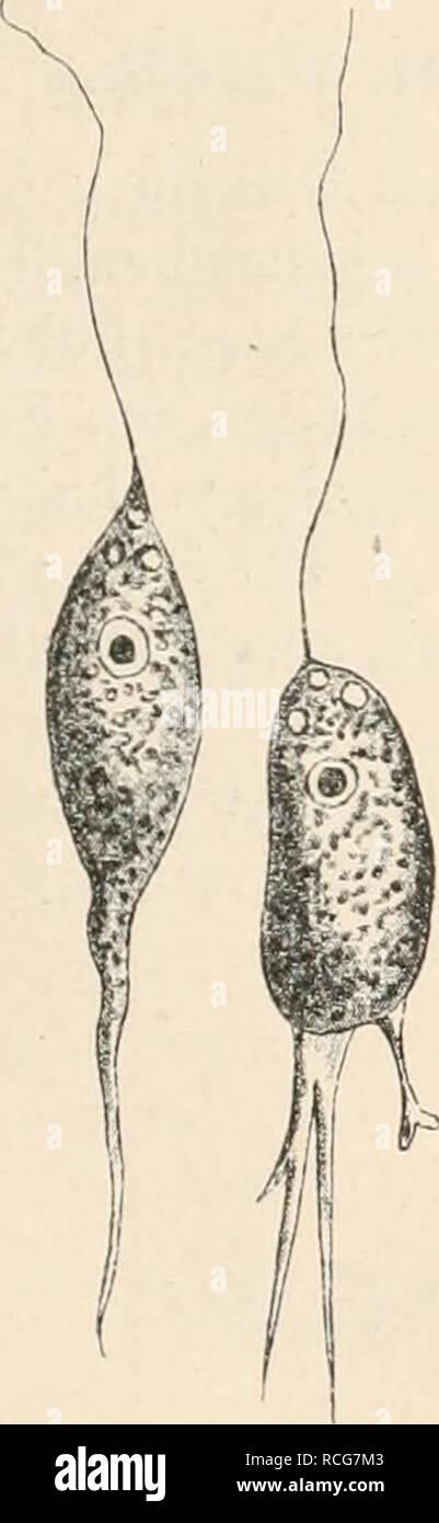 . Die Natürlichen Pflanzenfamilien nebst ihren Gattungen und wichtigeren Arten, insbesondere den Nutzpflanzen, unter Mitwirkung zahlreicher hervorragender Fachgelehrten begründet. Botany. Anhang zu den Flagellata. (Senn. 185 befindet sich das umgebogene Vorderende des Staborganes. Unter der feinen spiral- streifigen Plasmamembran ein plasmolysierbares Ectoplasma mit spiraligen Körnerreihen; hat die Fähigkeit, Gallerte auszuscheiden (vielleicht TrichoCysten vorhanden). Inhalt mit Fetltropfen, Paramylonkörnern und Nahrungsballen. Hauplvacuole mit kleinen, pulsierenden Nebenvacuolen neben der Bas Stock Photo
