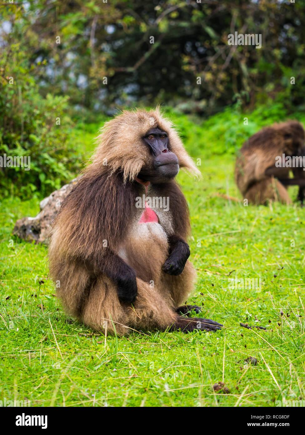 Male Gelada (Theropithecus gelada) monkey in Semien Mountains, Ethiopia. - Stock Image