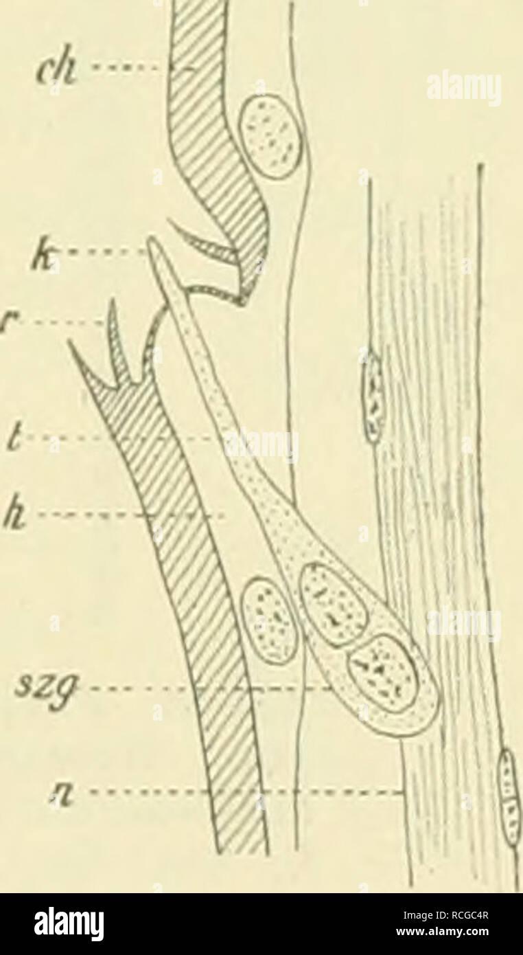 """. Die Schmetterlinge Europas. Lepidoptera; Caterpillars. Fig. 49. Spitze einer Fiedep des männl. Fühlers von Orgr. antiqua L ; fast ^w)/, u^t. Gr. k Grubeu- kegel; s^/Endzapfenträger; *? Endzapfen; A'Sinues- liorste; tr Sinneshaar. Verkl. nach 0 Schenk. Fig. 50. Längsschnitt durch einen Gruben- kegel des Fühlers von B. piniarius L.; """"*'/in. Gr. rh Chitin; U Epi- dermis ; )• Borste des Borstenkranzes ; t Endkegel des Sinnes- organs ; szg Sinnes- zellengruppe ; H Nerv. — Nach 0. Schenk. *) O. Seh., Die antennalen Hautsinnesorgane einiger Lepidopteren und Hymenopteren, in: Zool. Jahrb. Anat. Stock Photo"""