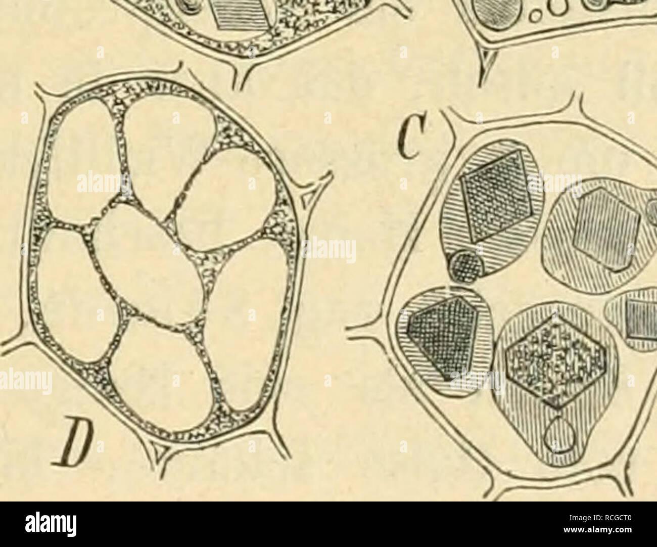 . Die rohstoffe des pflanzenreiches; versuch einer technischen rohstofflehre des pflanzenreiches. Botany, Economic; Materia medica, Vegetable. Zweiundzwanzigster Abschnitt. Samen. 753 lichtbräunlich gefleckte Samenschale. Samen von Ricinus viridis vom Congo sind nach Wiesner 9 mm lang, 6 mm breit, durch einen schwärz- lichen Nabel und eine grünlichbraune Samenschale mit reichlichen licht- grauen Flecken gekennzeichnet. Die pergamentartige, spröde Samenschale, von der sich auf der In- nenseite eine dünne, weissliche Schicht ablösen lässt, umschliesst ein mächtiges, öligfleischiges, weisses Endo - Stock Image