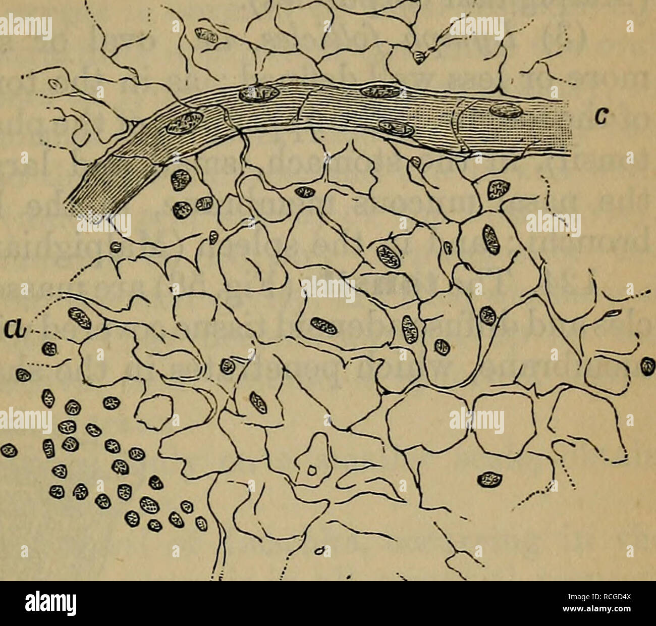 . Elements of histology. Histology. Chap, xii.] Simple Lymphatic Glands. 93 ^cMV.. (c) Lymph-corpuscles completely fill the meshes of the adenoid reticulum. These can be easily shaken out of the reticulum. They are of dif- ferent sizes; some — the young ones— are small cells, with a com- paratively large nucleus; others — the ripe ones—are larger, have a distinct pro- toplasmic cell body, with one or two nuclei. They all show on a warm stage amoe- boid move- ment, but in the large ones it is much more pronounced than in the small ones. The capillary blood-vessels supplying the adenoid tissue r - Stock Image