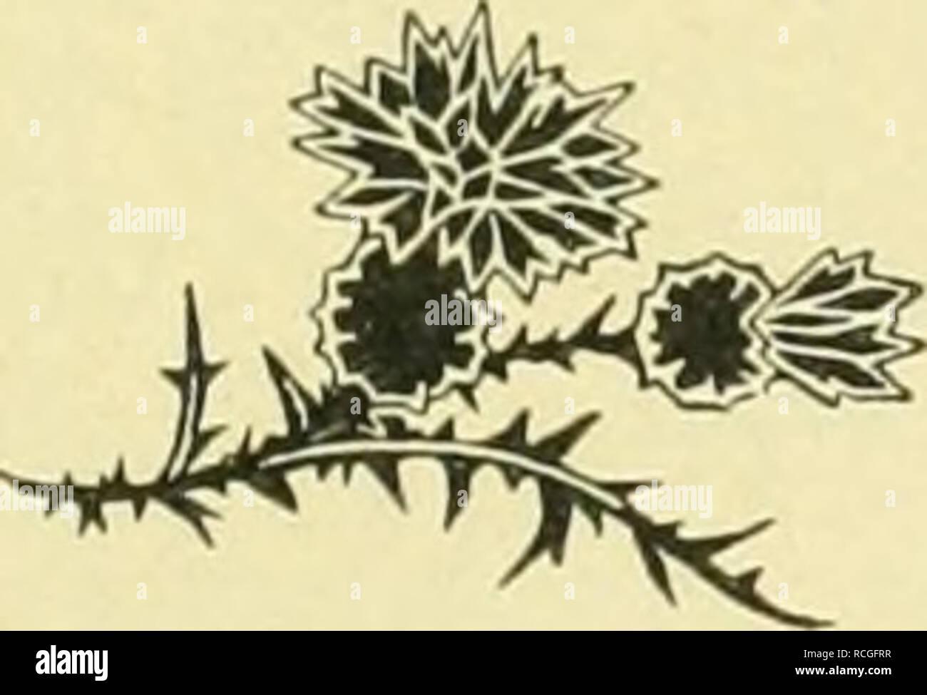 . Die Pusztenflora der grossen ungarischen Tiefebene. Plants; Plains. oder Kreuzdorngewächse: Paliurus aculeatus Lam., eine Zaun- reben-Art: Ampelopsis quinquefolia Mich., die aus Nordamerika stammt und als Kletterstrauch an Spalieren, Gittern und Mauern Verwendung findet. Von Nordamerika her hat sich ferner der Kermesbeerenstrauch (Plytolacca decandra L.) über Spa- nien und Norditalien und ganz Europa verbreitet und auch in die Gärten der Pufzten verirrt. Hin und wieder sieht man auch unter den Fruchtbäumen der Obst- und Weingärten die schwarze und weisse Maul- ])eere (Morus nigra L. — M. al - Stock Image