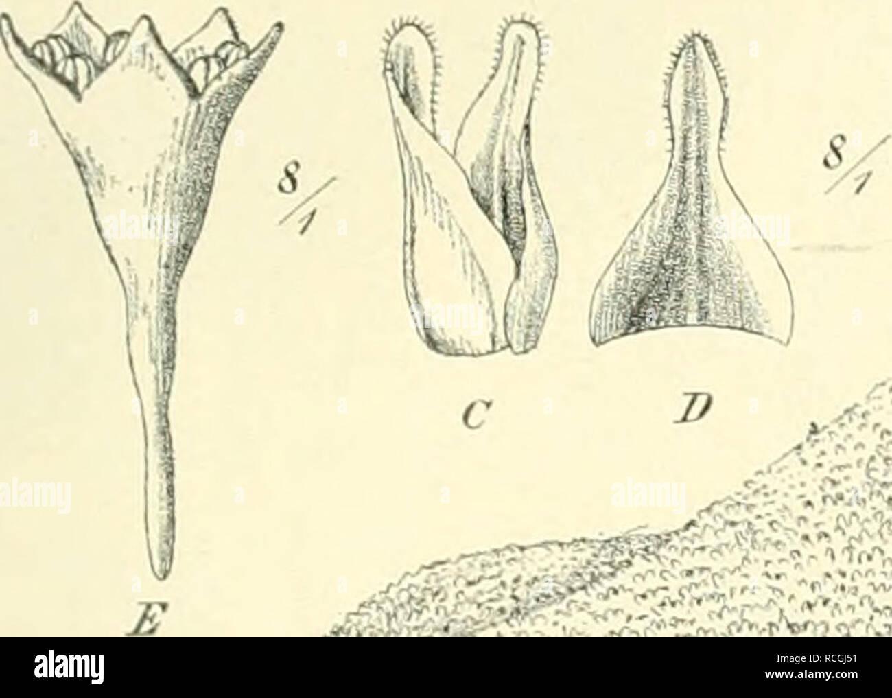 . Die Pflanzenwelt der peruanischen Anden in ihren Grundzügen dargestellt. Mountain plants; Mountain plants; Phytogeography; Phytogeography. I. Abschnitt. 7. Kapitel. Die hocliaiuliiie oder runazone. 197 Zusammendi-ängung der Stengel erinnert an die Zusammendrängung der Rosetten- sprosse bei den Polsterpflanzen. Es ergeben sich Wuchsformen, die den Polstern teilweise nahestehen, aber durchweg ein lockereres Gefüge aufweisen und als Rasen oder Büschel bezeichnet werden können. Die Stämme der Rosetten- pflanzen und der Polstergewächse (wenigstens der flach ausgebreiteten) werden dadurch, daß sic - Stock Image
