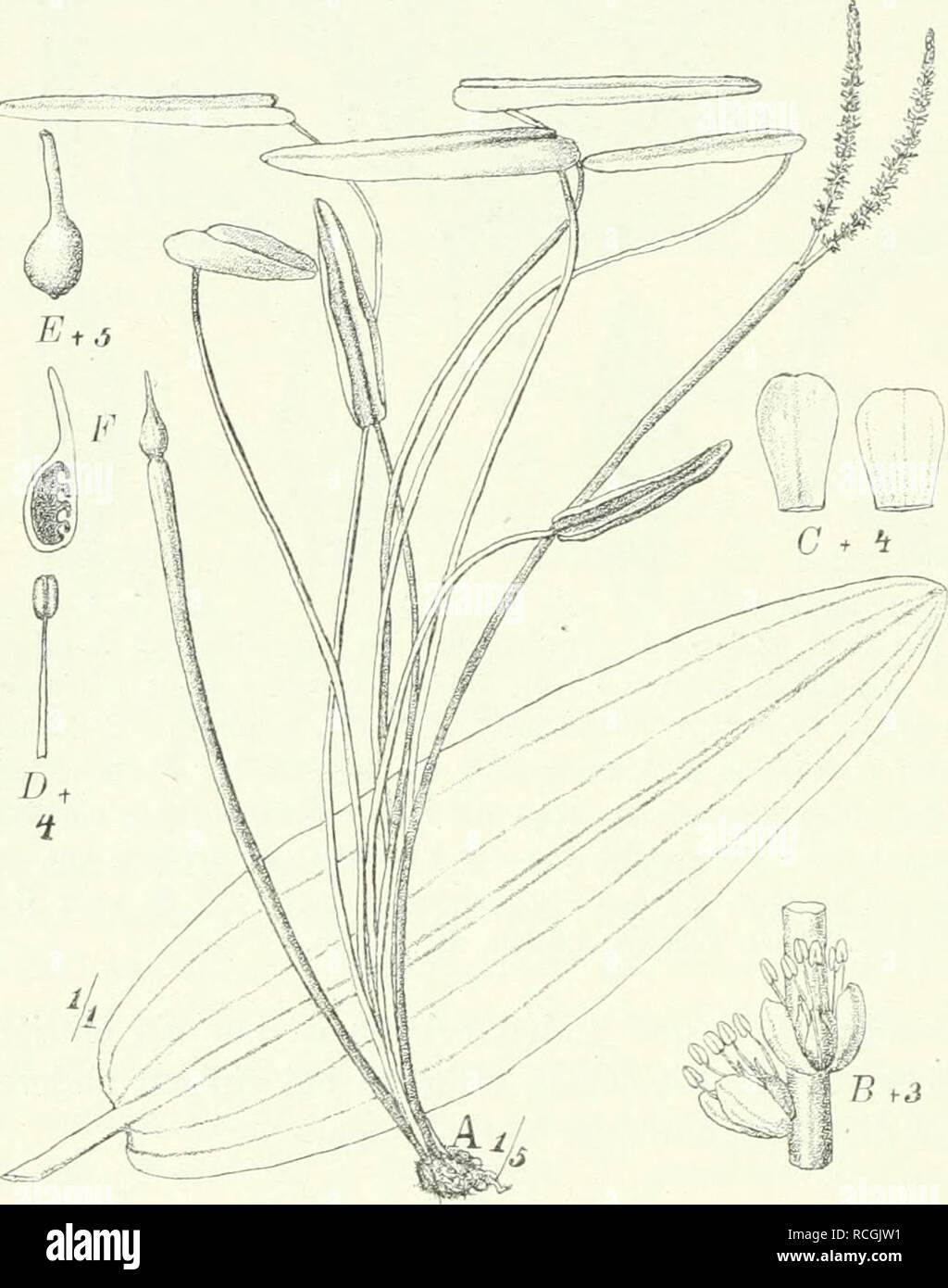. Die Pflanzenwelt Afrikas, insbesondere seiner tropischen Gebiete : Grundzge der Pflanzenverbreitung im Afrika und die Charakterpflanzen Afrikas. Botany. 100 Heloblae. — Aponogetonaceae. <!:^ felsen gebildet haben, im feinen Granitgrus wurzelnd. Wie bei Potamogeton gibt es auch Aponogcton mit schwimmenden Blattspreiten und solche mit ganz untergetauchten Blättern. Letztere sind sehr- zart und ohne Cuticula, bei dem auf Madagaskar wachsenden A. Beiniier'ianus (Dcsne.) Hook. f. zwischen den Adern teilweise und bei dem ebenda vorkommenden Ä. fenestralis (Poir.) Hook, f [Ouvirandra^ Gitterpfla - Stock Image