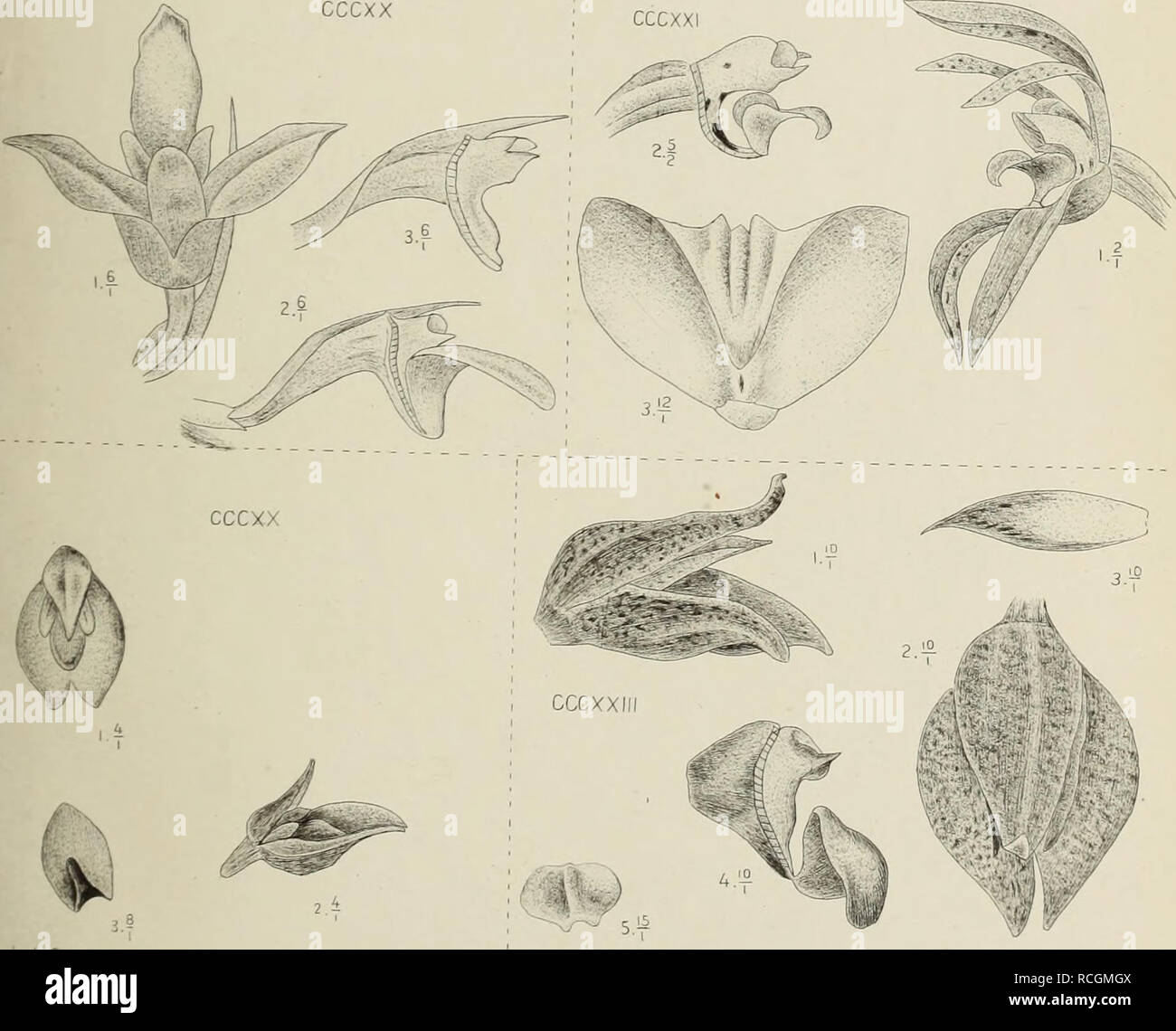 """. Die orchideen von Java. Orchids. J.J.Smith del imguimkitum kehb.f. cccxxi. """" elongatum Hassh. obscurum JJ.S. cccxxm. """" obsrnrunU.lS.mr. CCCXX XCXXII.. Please note that these images are extracted from scanned page images that may have been digitally enhanced for readability - coloration and appearance of these illustrations may not perfectly resemble the original work.. Smith, J. J. (Johannes Jacobus), 1867-1947. Leiden : E. J. Brill - Stock Image"""