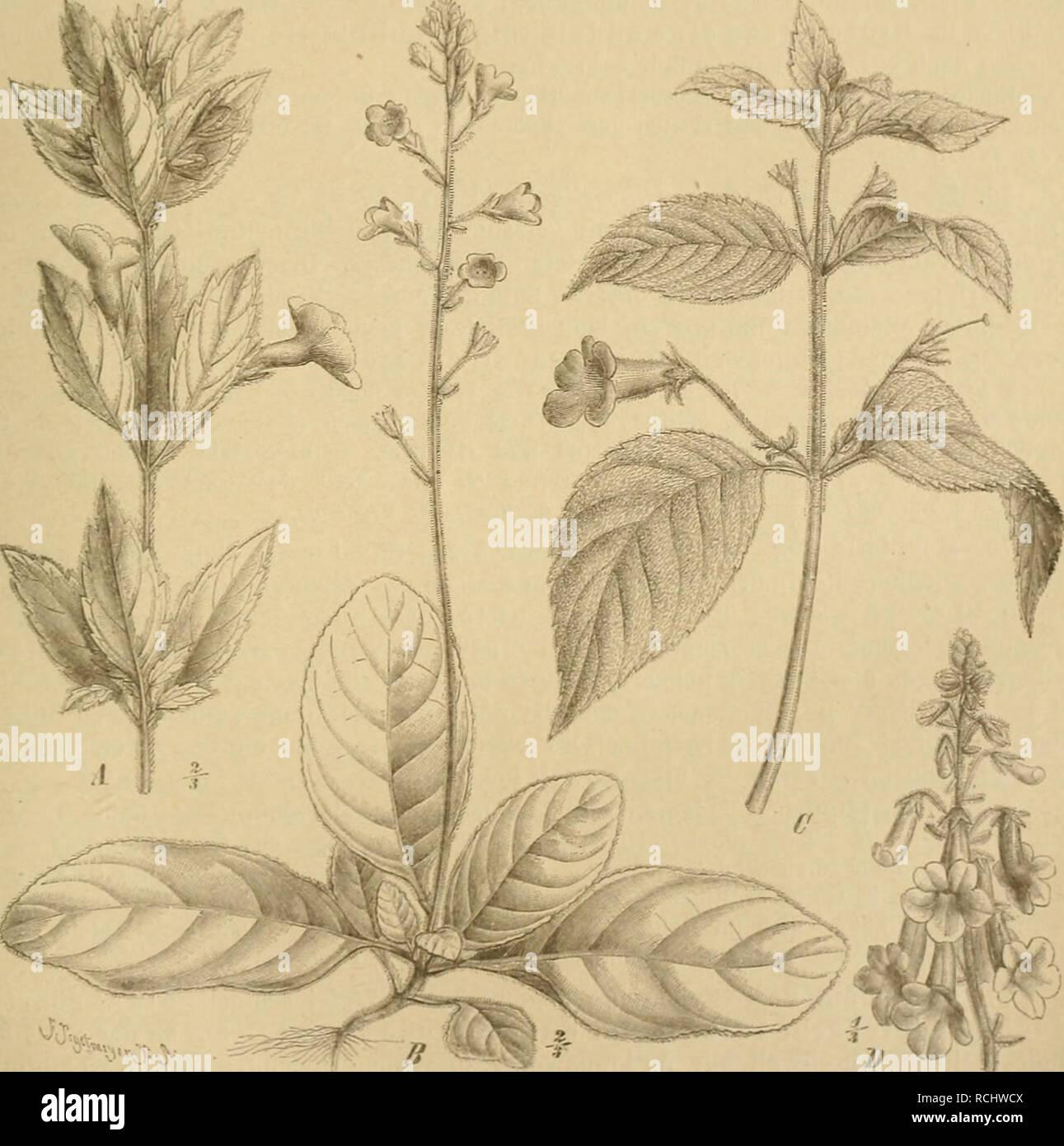 . Die Natürlichen Pflanzenfamilien : nebst ihren Gattungen und wichtigeren Arten, insbesondere den Nutzpflanzen. Plants; Plants, Useful. (jcsiifriaceae. ,1 ritsch.; 1 sehr kleinen 151., lieron Hlkr. ilei» Kclcli nur wenig üherra;.'! und «lurcli i Höcker an lii-r Unterseite des Schlundes ausgozeiciinet ist J-'ig. 11 0 . — Mit A. miseru Lindl. ist zweifellos nahe verwandt .1. aiiulida I.indl. Diastema f/racilc Ueg. , deren Hl. größer sind und die am Schlünde der ülkr. an Stelle der Höcker nur i wenig auffallende Fallen besitzt I'ig. 78 €,. — Beide .rten liaben weißliehe, am Schlünde rötlich ode - Stock Image