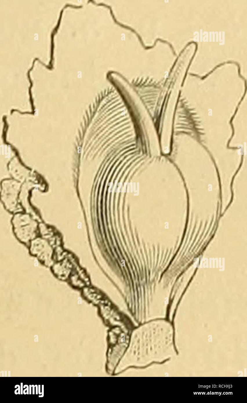 . Die Natürlichen Pflanzenfamilien : nebst ihren Gattungen und wichtigeren Arten, insbesondere den Nutzpflanzen. Plants; Plants, Useful. Podostemaceae. iWai-ming. 15 (Jiese bei einigen, und ursprünglich Uächerig ist der Frkn. bei anderen, besonders den afrikanischen Galtungen [Angolaea, Sphaerothylax, Ihjdrostachys . Die Samenanlagen sitzen in großer Zahl mit äußerst kurzem Funiculus oline Leitslrang, amphitrop auf der Placenla, sind umgewendet, mit 2 dünnen IntegunnMilen. Please note that these images are extracted from scanned page images that may have been digitally enhanced for readability - Stock Image