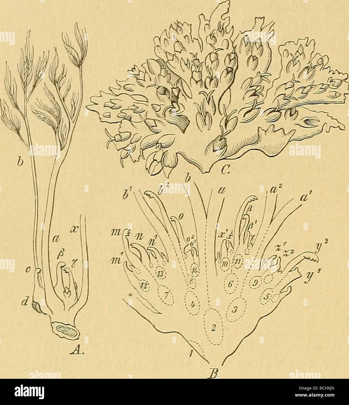 . Die Natürlichen Pflanzenfamilien : nebst ihren Gattungen und wichtigeren Arten, insbesondere den Nutzpflanzen. Plants; Plants, Useful. 10 Podostemaceae. (Warming.). Eine scheinbar abweichende Form ist Apinagia (Fig. I o). Die BL sitzen hier in einer Reihe auf der Rückenseite von sichelförmig gekrümmten Zweigen, und zwar mit B. alternierend; zwischen je 2 Bl. sitzt ein B., das laubblatt-, seltener mehr hochblatt- artig ausgebildet ist. In der That ist die Verzweigung aber dieselbe wie in Fig. 6, 7 u. 9, aber jeder Spross trägt nur  B. (die alleruntersten ausgenom- men), schlieÃt danach  - Stock Image