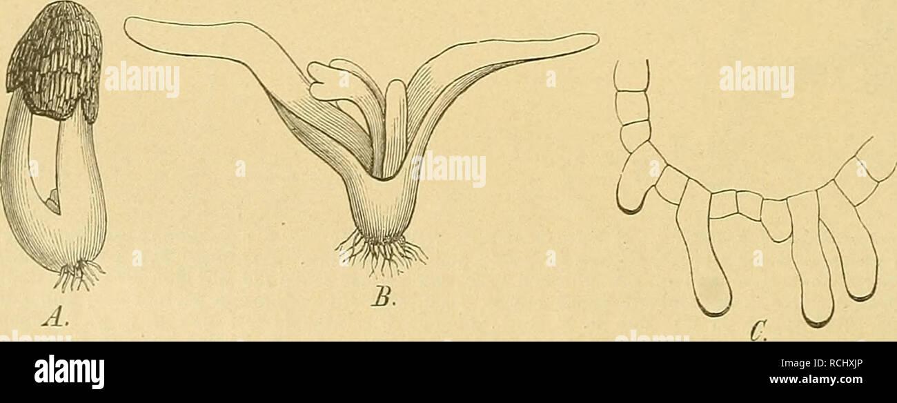 . Die Natürlichen Pflanzenfamilien : nebst ihren Gattungen und wichtigeren Arten, insbesondere den Nutzpflanzen. Plants; Plants, Useful. g Podostemaceae. (Warming.) Erstarkung der Assimilationsorgane. Bei vielen Arten kommen Zipfel und Emergenzen zum Vorschein, welche mit gewöhnlichen, randständigen Blatlabschnitten nicht verglichen werden können, die aber gewiss die Bedeutung haben, die Assimilations- energie zu vergrößern. Bei Mourera aspera deckt die ganze obere Blattfläche sich mit unzähligen, chlorophyllhalligen Emergenzen, während die ünterfläche ganz glatt ist. Bei Podostemon distichus  - Stock Image