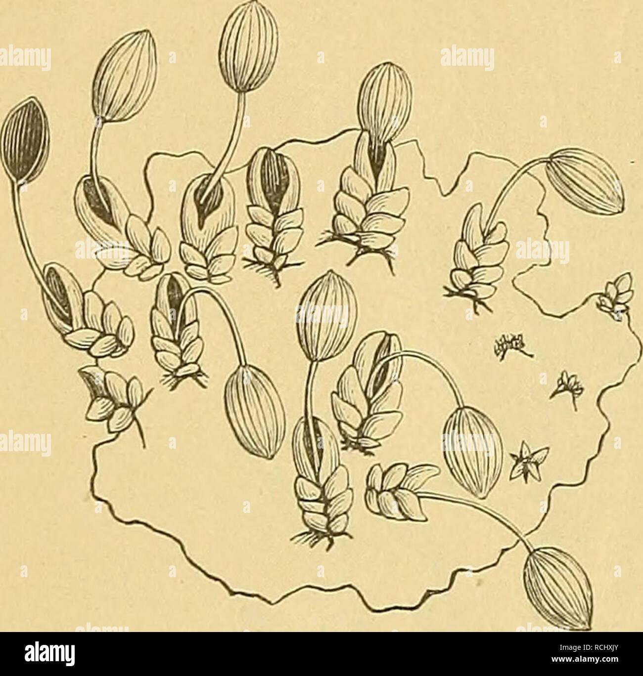 . Die Natürlichen Pflanzenfamilien : nebst ihren Gattungen und wichtigeren Arten, insbesondere den Nutzpflanzen. Plants; Plants, Useful. 6 Podostemaceae. (Warming.' Der Fußteil der B. ist gewöhnlich etwas scheidenförmig erweitert und etwas stengelumfassend. Bei einigen ist er Avenig schief und an beiden Seiten gleich ent- wickelt, und z. B. mit einer ^ intrapetiolären Stipel ver- II // sehen oder ligulaartig her- vortretend; bei anderen ist er aber auch ungleich ent- wickelt, indem die noto- skope Seite stärker ausge- bildet ist; namentlich findet sich hier ofteinzahnförmiges Achselblattgebild - Stock Image