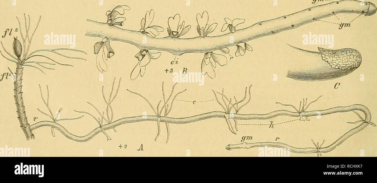 . Die Natürlichen Pflanzenfamilien : nebst ihren Gattungen und wichtigeren Arten, insbesondere den Nutzpflanzen. Plants; Plants, Useful. 2 Podostemaceae. (Warming.) heftet, mit äußerst verscliiedenartigem und für Phanerogamen fremdartigem Habitus, in- dem sie oft an Lichenen, thallöse Hepaticeen, Jungermannien oder andere Moose oder an Algen erinnern. Einige sind fast stengellos, indem die Stengel niederliegend und der Unterlage angedrückt sind, tliallusähnlich, bei anderen sind die Stengel lang und flutend, aber fast immer mehr oder weniger dorsiventral. B. gewöhnlich 2zeilig, von sehr ver- s - Stock Image