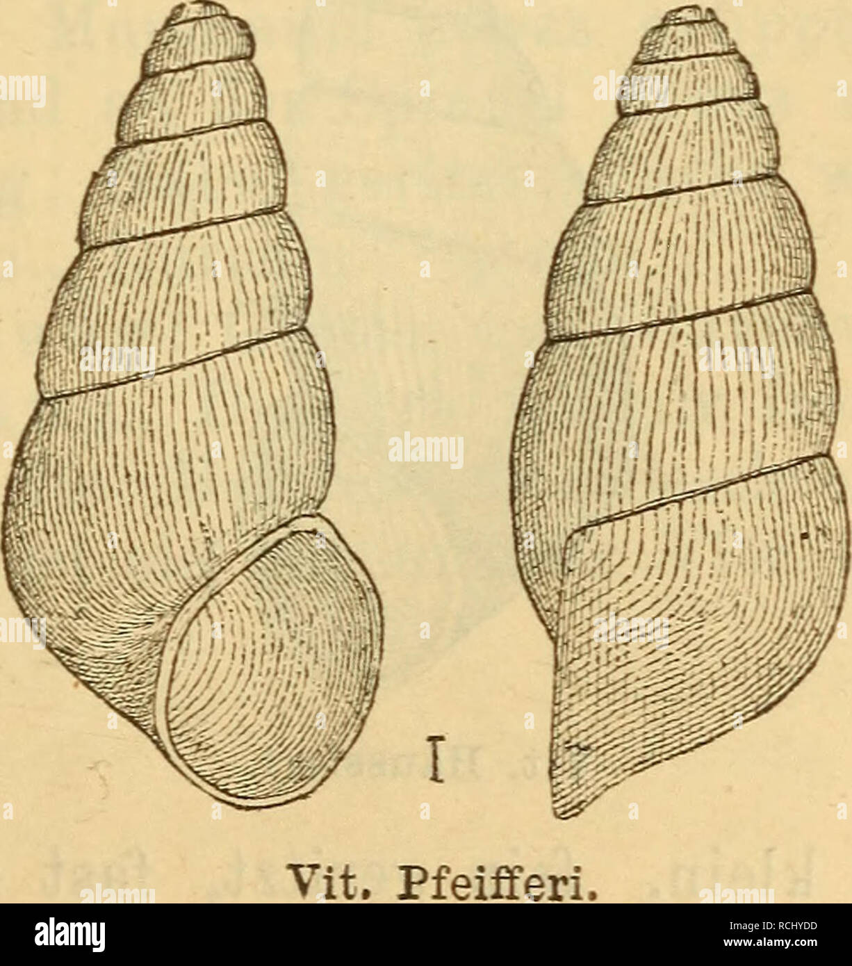 . Die Mollusken-Fauna Mitteleuropa's. Mollusks. Vit. gracilis. Höhe 1,9 mm., Durchm. 0,6 mm. Verbreitung: In Krain im Auswurfe der Bäche. Bemerkung. Die Art ist sehr eigenthümlich und von allen übrigen des Genus leicht zu unterscheiden. 6. Vitrella Pfeifferi n. sp. Thier: nicht beschrieben. Fig. 423,. Please note that these images are extracted from scanned page images that may have been digitally enhanced for readability - coloration and appearance of these illustrations may not perfectly resemble the original work.. Clessin, Stephan, 1833-1911. Nürnberg : Bauer & Raspe Stock Photo