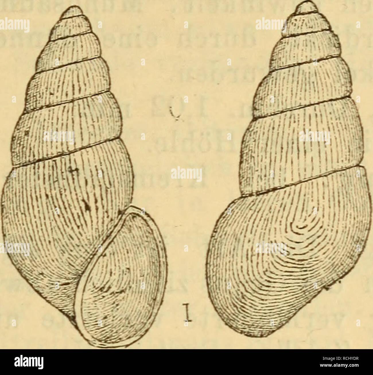 . Die Mollusken-Fauna Mitteleuropa's. Mollusks. 629 kirte Ecke ausgezogen, nicht nach rechts vortretend; Mund- saum scharf, zusammenhängend, kaum erweitert, etwas ver- dickt; Spindelrand umgeschlagen, fest angedrückt; Deckel? Fig. 422.. Vit. gracilis. Höhe 1,9 mm., Durchm. 0,6 mm. Verbreitung: In Krain im Auswurfe der Bäche. Bemerkung. Die Art ist sehr eigenthümlich und von allen übrigen des Genus leicht zu unterscheiden. 6. Vitrella Pfeifferi n. sp. Thier: nicht beschrieben. Fig. 423,. Please note that these images are extracted from scanned page images that may have been digitally enhanced f Stock Photo