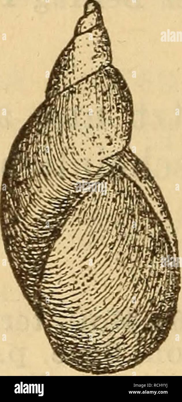 . Die Mollusken-Fauna Mitteleuropa's. Mollusks. 490 6. VCtr. elüta Baudon Monogr. Succ. p. 165 t. 8 fig. 6. Succinea Pfeifferi var. gracilis Baudon Nouv. cat. moll. de l'Oise 1853 p. 15. Gehäuse: verlängert, wenig gerade, zugespitzt, fest- schalig, halbdurchsichtig, fein gestreift, dunkel bernstein- farbig oder röthlich; Gewinde sehr verlängert, mit schiefer Naht, der letzte Umgang wenig gewölbt; Mündung eiför- mig, kaum die Hälfte der Gehäuselänge erreichend. Lge. 13 mm., Durchm. 4,5 mm. Fig. 329.. S. Pfeif?, v. elata. Verbreitung: Tirol, bei Rochetta im Nonsthale, fer- ner wahrscheinlich in  Stock Photo