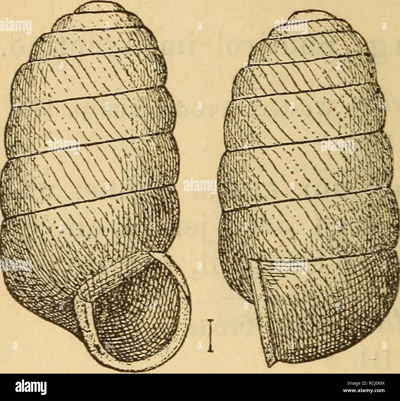 . Die Mollusken-Fauna Mitteleuropa's. Mollusks. 260 4. Pupilla madicla Gredler r^-^upa muscorum var. madida Gredler Tirol p. 113. — — — — Westerlund Prodr. 182. — Halleriana Jeffreys 1855 ? — alpicola Charpent. Moll. Suise p. 16 t. 2 f. 5. Thier: nicht beschrieben. Fig. 159.. P. madida. Gehäuse: fein geritzt, doch der Nabeltrichter weiter wie bei P. muscorum, walzenförmig, dünnschalig, mit stum- pfem Wirbel und 7 ziemlich gewölbten Umgängen, die durch eine tiefe Naht getrennt sind, der letzte ein Viertel der Gehäuselänge einnehmend, sehr fein gestreift; Nackenwulst fehlt, gleichfarbig, von bra Stock Photo