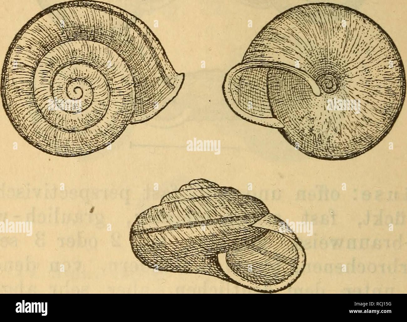 . Die Mollusken-Fauna Mitteleuropa's. Mollusks. 162 E. Formonkreis der Campylaea phalerata ZgL 16. Campylaea phalerata Ziegler. Helix phalerata Ziegl. in Rossm. Icon. f. 159. Thier: graugelb, Kopf; Fühler und Rücken dunkel- gelblichgrau. Fig. 74.. Gehäuse: offen genabelt, gewölbt-scheibenförmig, zu- weilen gedrückt-kugelig, braungelb, braun gesprengelt, nicht selten fast ohne diese Sprengein; in einer breiten, weiss- lichen Zone läuft genau auf der Mitte des letzten Umganges ein ziemlich schmales, schwarzbraunes, scharf begrenztes Band, welches auf den übrigen Umgängen von der Naht verdeckt wi Stock Photo