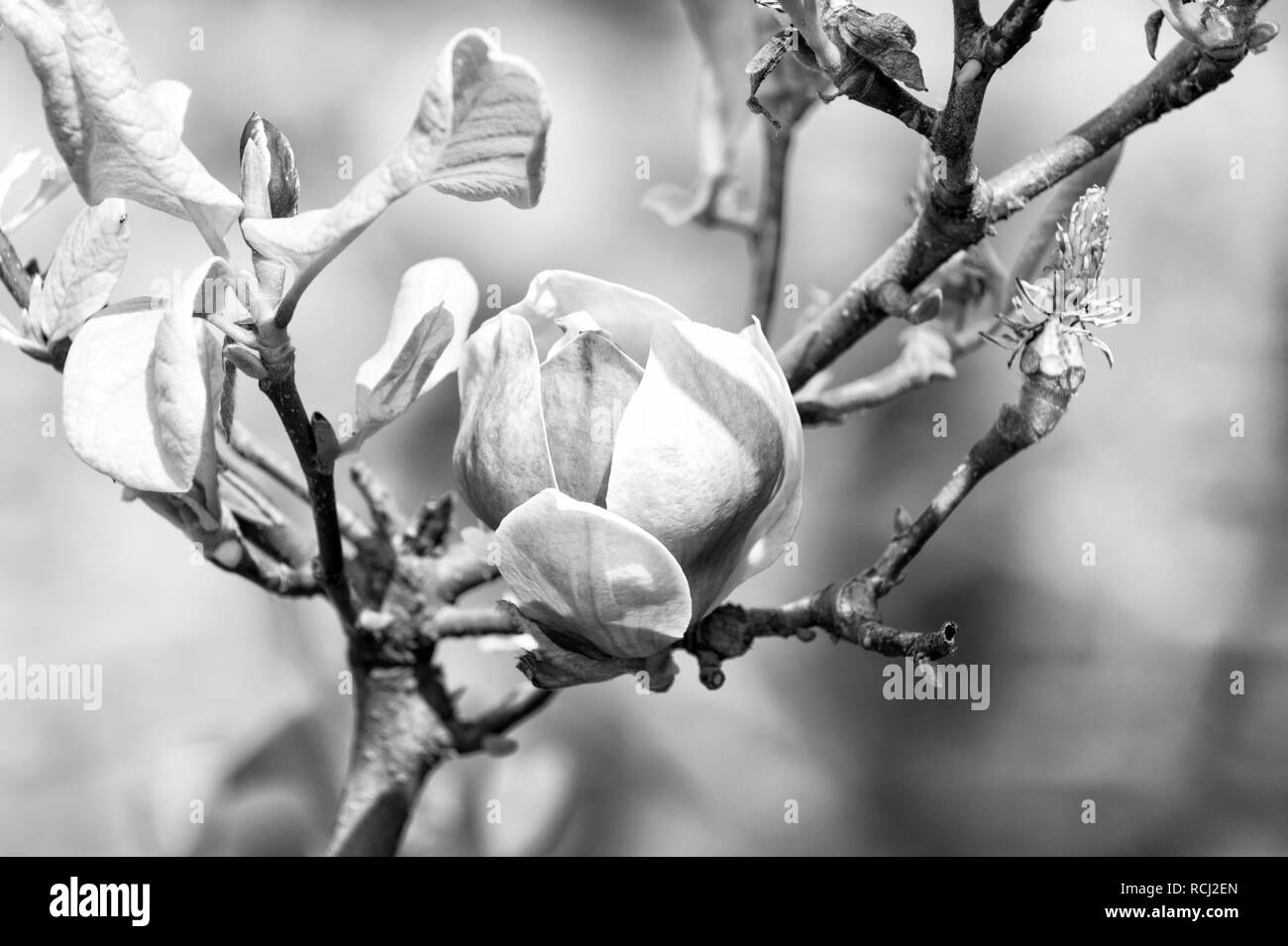 Magnolia flower bloom on blurred background. Blossom of magnolia tree on sunny day, spring flower. Spring season concept. New life awakening. Nature, beauty, environment. - Stock Image