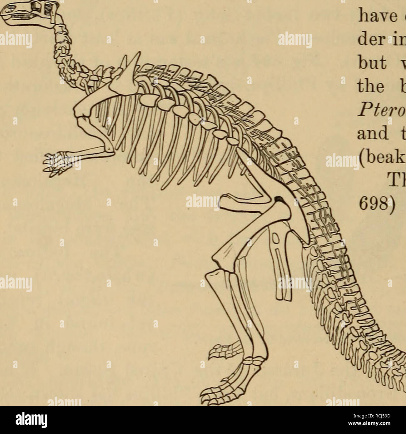 . Elements of geology : a text-book for colleges and for the general reader. Geology. Fig. 694.—Head of Megalosaurus. x ^j (restored by Phillips). hind-leg, and small and short fore-leg. From its structure, it must have walked habitually on its hind-legs alone (Fig. 697). 3. Pterosaurs.—These flying reptiles were certainly among the most extraordinary animals that have ever existed. The or- der includes several genera, but we will describe only the best known, viz., the Pterodactyl (wing-finger), and the Khamphorhynchus (beak-snout). The Pterodactyl (Fig. 698) combined the short, compact body; Stock Photo