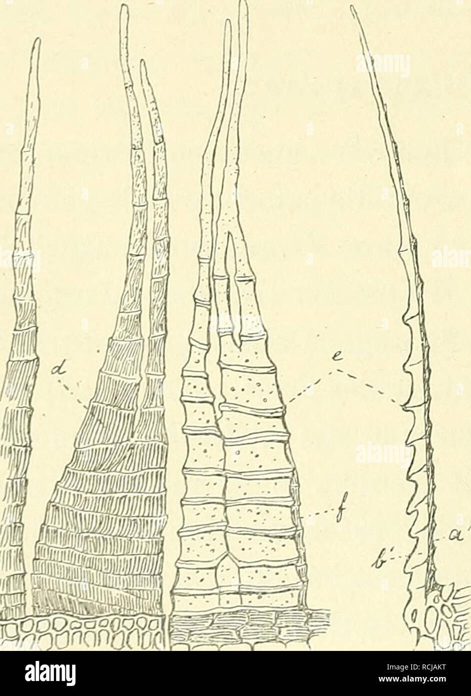 . Die Musci der Flora von Buitenzorg : zugleich Laubmoosflora von Java. 58 bis zur Spitze fortgeführt, selten am Rücken mit flügelartigen Lamellenbildungen, oft sehr verbreitert und complicirt gebaut (bei Campyloyus), jedoch ohne Begleiter. Blattzellen meist längs- gestreckt, auch proseuchymatisch; seltener im grösseren Teil des Blattes rundlich parenchymatisch; gegen die Blattspitze oft quadratisch; am Blattgrunde meist getüpfelt und sehr selten papillös. Blütenstand ein- und zweihäusig; oft die cf Pflänzchen zwergig und im Stengelfilz nistend (pseudomonöcisch; Näheres darüber bei Dicranum).  Stock Photo
