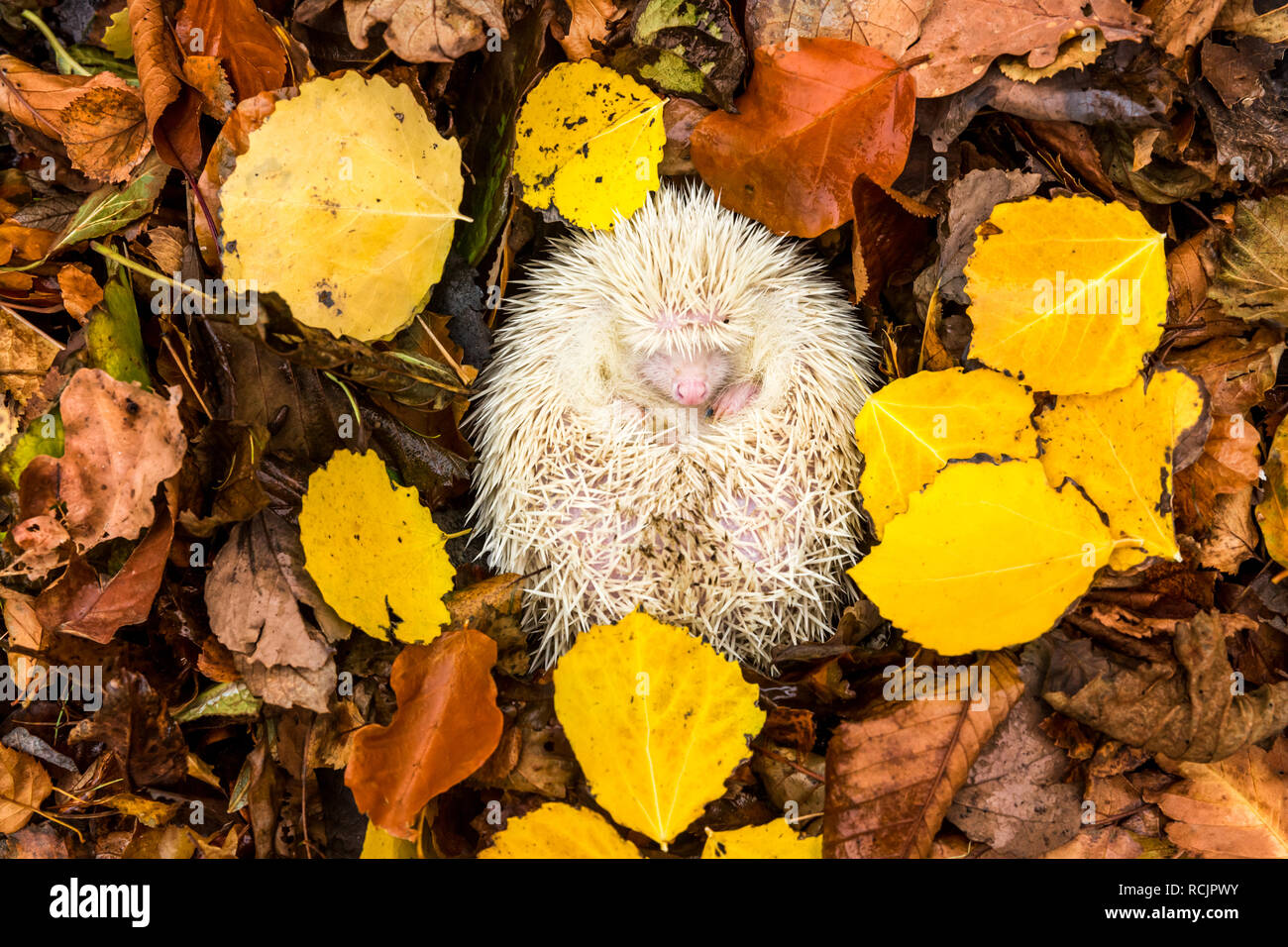 Hedgehog, (Erinaceus Europaeus) wild, native, white, pure Albino hedgehog with pink nose, hibernating in yellow Autumn or Fall leaves. Landscape - Stock Image