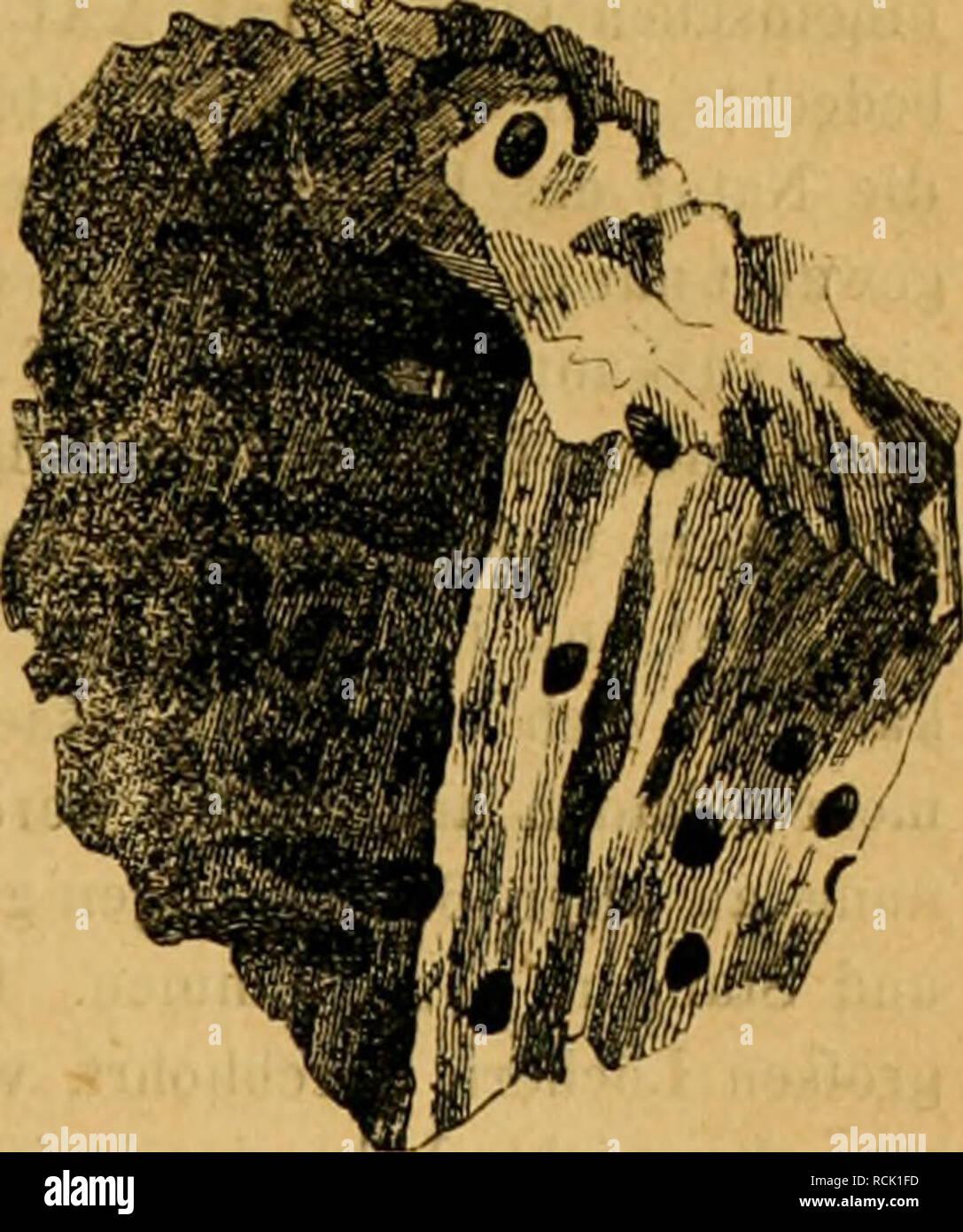 . Die forst-insecten : oder Abbildung und beschreibung der in den wäldern Preussens und der nachbarstaaten als schädlich oder nützlich bekannt gewordenen insecten ; in systematischer folge und mit besonderer rücksicht auf die vertilgung der schèadlichen. Im auftrage des chefs der zweiten abtheilung des Kèonigl. Preuss. ; Haus-ministeriums Herrn geheimen staats-ministers von Ladenberg excellenz, herausgegeben. Forest insects. AnOBIUM TESSELLATÜM. ANOBroM EMARGINATUM. 51 an anbrüchigen Stellen der alten Taxus-Bäume am grofsen Rabensteine im Thale'schen Reviere. Also das einzige bis jetzt in der  - Stock Image