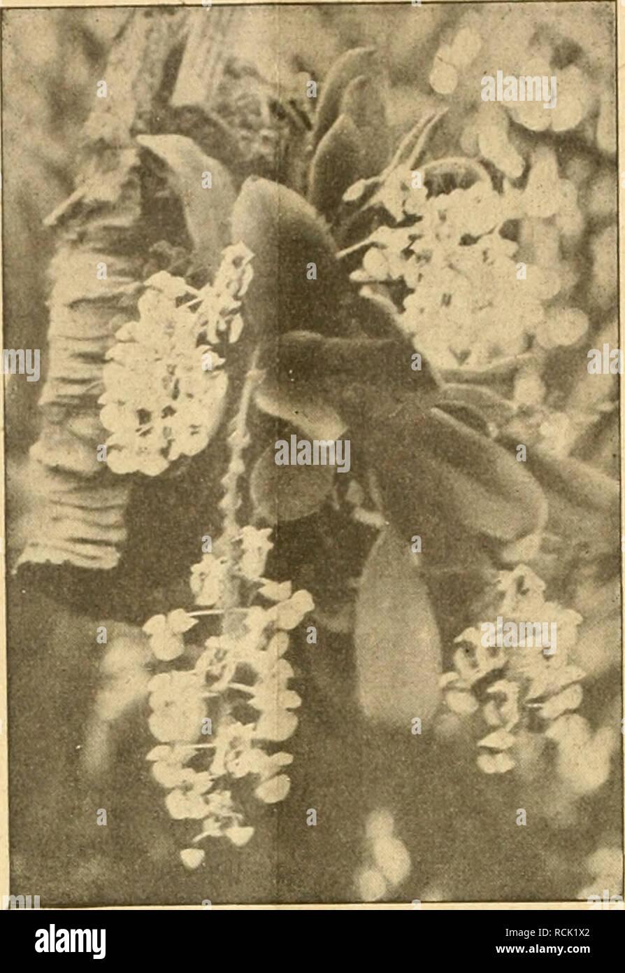 . Die Gartenwelt. Gardening. 82 Die Gartenwelt. XXIII, Winter die kühlste Stelle im ge- mäßigt warmen Orchideenhause, wo sie nicht gar zu sonnig hängt. Für recht fleißiges Spritzen mit Regenwasser ist sie sehr dankbar. Die Blätter dürfen im Sommer fast nie abtrocknen. Es wäre sehr zu wünschen, daß gerade diese Art größere Verbreitung unter den Liebhabern fände, denn durch ihre Lieblichkeit, Anspruchslosigkeit und lange Blütendauer ist sie in erster Linie mit dazu berufen, das In- teresse für diese Pflanzenfarailie in Liebhaberkreisen zu fördern. B. Voigtländer. Topfpflanzen. Eupatorium araliae Stock Photo