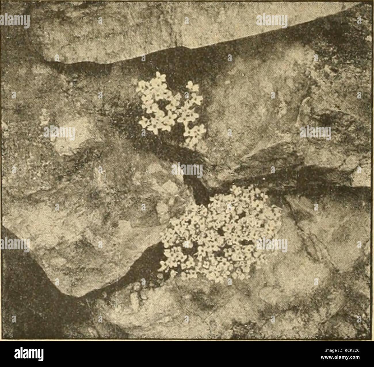 . Die Gartenwelt. Gardening. 42 Die G a r t e n w e 11. xxin, 6 Blumentreiberei. Lathyrus odoratus. Als vor mehreren Jahren die Schnitt- blumenkultur bei uns gröÃere Fortschritte machte, wurden die winterblühenden Lathyrus als sehr lohnend empfohlen. Landauf und landab ist aber im Winter fast in keiner Gärtnerei von diesen schönen Blüten etwas zu sehen. Nachdem die blassen, geruchlosen italienischen Blumen bei uns in Wegfall kamen, erfreuten sidi unsere selbstgezüchteten, mit Geholze. ^^' W,-^ ^ * ^/^^^â j. ^ . ^w% ^ Alyssum pyrenaicum. ihren frischen Farben und ihrem Wohlgeruch immer gr Stock Photo