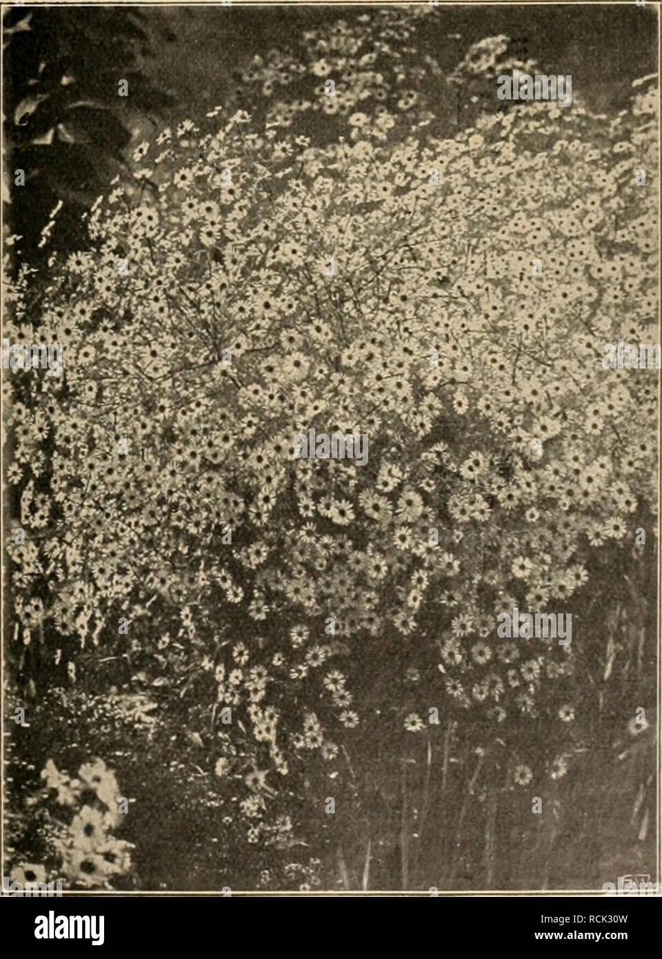 """. Die Gartenwelt. Gardening. Aster Novae Angliae Treasure (Text Seite 653). Vom Verfasser für die """"Gartenwelt"""" photographisch aufgenommeD. späteren nochmaligen Ausführungen, für welche er, für jeden Fall, nochmalige Bezahlung zu fordern berechtigt ist.*) In alledem steht ihm das Urheberschutzgesetz voll zur Seite (? des Herausgebers). Der Prinzipal erwirbt mit der Gehaltszahlung nur das Recht, vom Angestellten zu verlangen, daß er die erforder- lichen Zeich nungen liefert und im übrigen pünktlich und gewissenhaft während der Dienststunden die Interessen der Firma inner- und außerhalb des  Stock Photo"""
