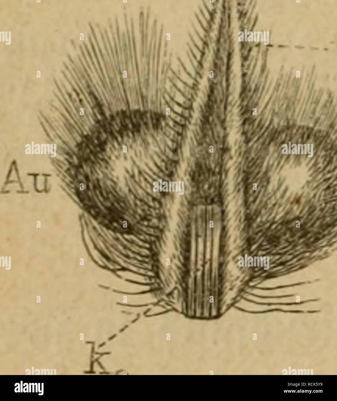 . Die Insekten. Entomology. 5i9 102. £opf fainmt Dtüffel'(ko) etnc§ galterS taa lInterU:pVentafter. 5E)ic ftaffenbe ^afi§ ber oOerftäubigcn 9^üffc(riune hcdt bie giingenförmige DOerlippe (gig. 55 u. 99 ol) §u. ^er Söaiijen^ rüffcl tritt aber nie tre^rloS auf, )üie ba§ bei beit t^üegen öftere gefc|iel)t, fonbern immer al§ ©ted^rüffel, b. ^. betüaffnet mit öier ^ieferborften (?^ig. 55 unb 99 ki, k2), Jreld^e, §. 33. bei ben 5B(attläufen, ben Ütüffet, ja -im au§geftrerften ^iiftanb fetbft ben gangen Körper tüeit überragen unb be^^alb in eine @d^(inge um- biegen. ^ie öößige Sbentität mit bem S)ipt - Stock Image