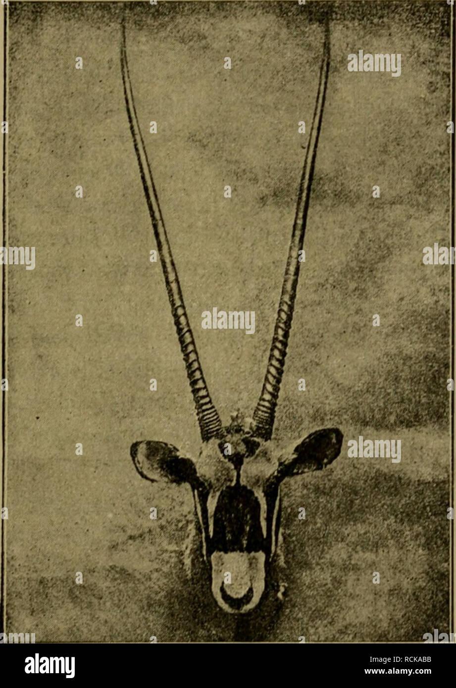 . Die geographische Verbreitung und geologische Entwickelung der Säugetiere. Zoogeography; Mammals; Mammals, Fossil. — 335 - Verwandten (Hippotrmjiis) typisch vertreten, })ei denen die Hörner sanft nach, rückwärts gebogen und fast bis an die Spitze geringelt sind. Diese Gattung ist ausschliesslich äthiopisch. Die durch die Oryxantilope (Oryx) typisch. l'ig. 0». Kojif der Oryxantilope ((/ryxj. vertretene Gattung, die durch die geraden oder nur schwach gebogenen und nur an der Basis geringelten schlanken Hörner charakterisiert ist, ist über alle Wüstengegenden von Afrika, Arabien und Syrien verb - Stock Image