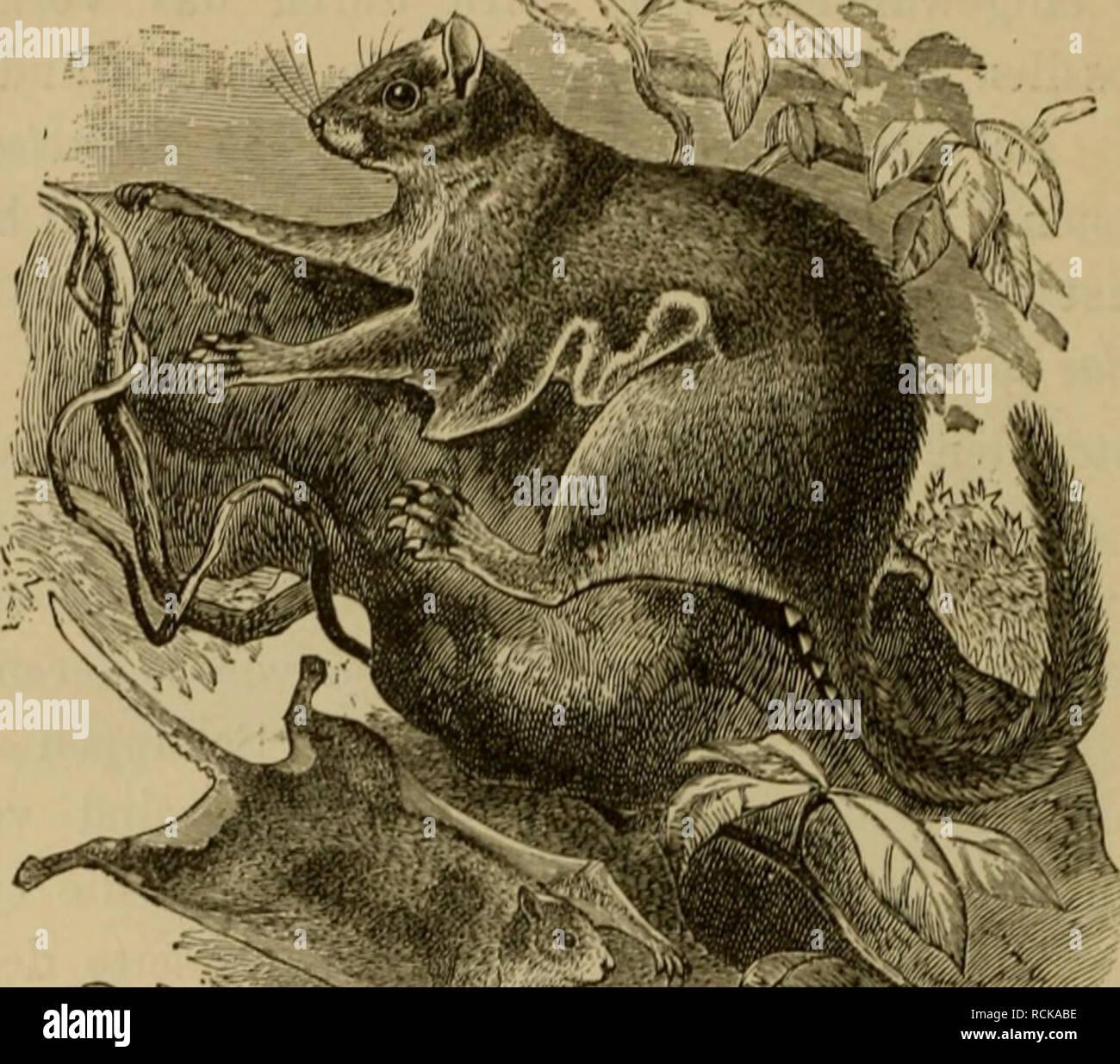 """. Die geographische Verbreitung und geologische Entwickelung der Säugetiere. Zoogeography; Mammals; Mammals, Fossil. — 324 — Vorkommen einer ausgestorbenen Art im französischen Mioeän bewiesen wird. Schlafmäuse (Myoxidae) sind in Aethiopien sehr zahlreich vertreten, und wenn man die Familie in mehr als zwei Gattungen zerlegen will, so ist die Gattung Graphiurus, die durch den kurzen, cylindrischen quastenförmigen Schwanz sowie durch den einfachen Bau. Fig. .""""iö, Glänzended afrikaiiisclies KlugcichliöriicIiL'ii (Aiioiiialiirus fiiUjens). der Molaren charakterisiert ist, dieser Region eigen - Stock Image"""