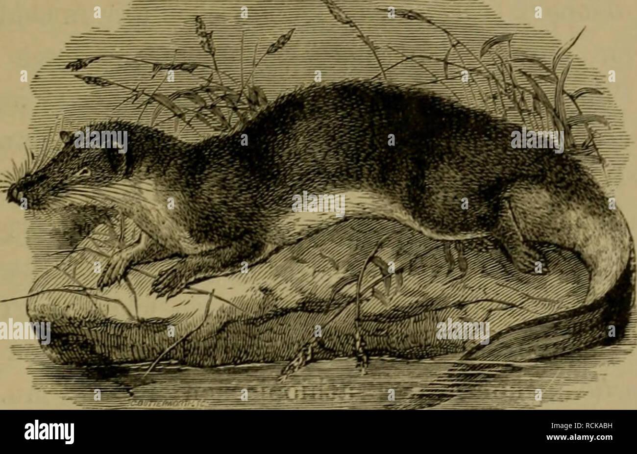 . Die geographische Verbreitung und geologische Entwickelung der Säugetiere. Zoogeography; Mammals; Mammals, Fossil. 319 Die Familie ist wahrscheinlich eine sehr alte. AVir kennen zwar keine fossilen Vertreter derselben, allein das Vor- kommen von GeogaJe beweist, dass die Gruppe zu den ältesten Säugetieren gehört, die in Aethiopien eingedrungen sind. Die Goldmulle {ChrysocUorklae), die ihren Namen wegen des metallischen Glanzes ihres Pelzes bekommen haben, sind blinde, ohrenlose, in der Erde wühlende In- sektenfresser. An der Mittelzehe der Vorderfüsse besitzen. Fig. 53. Potamogale aus Westaf - Stock Image