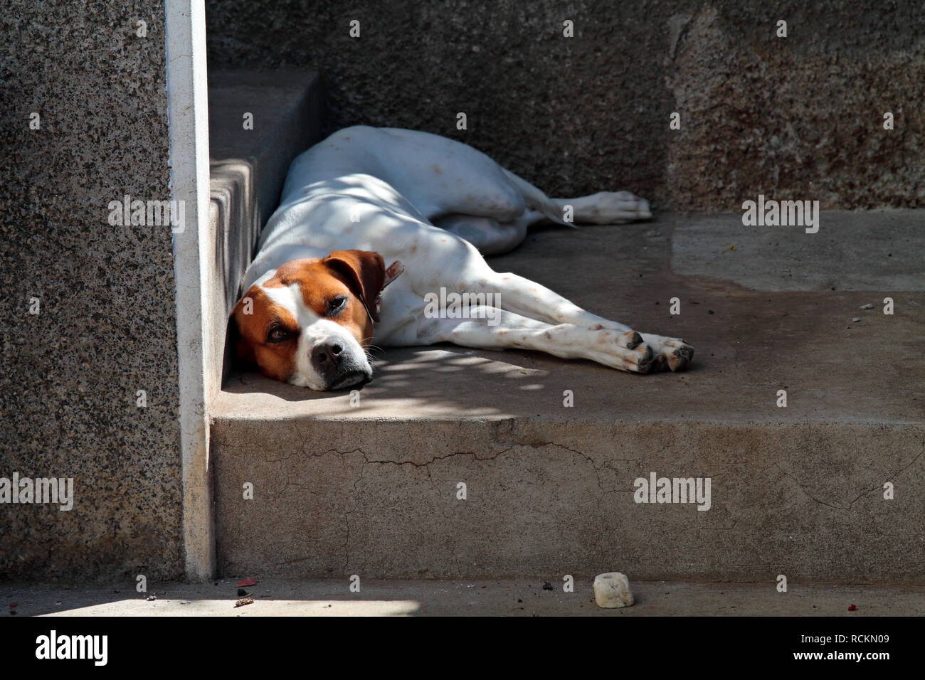 A big and strong crossbred dog lying in front of its home on concrete - Stock Image