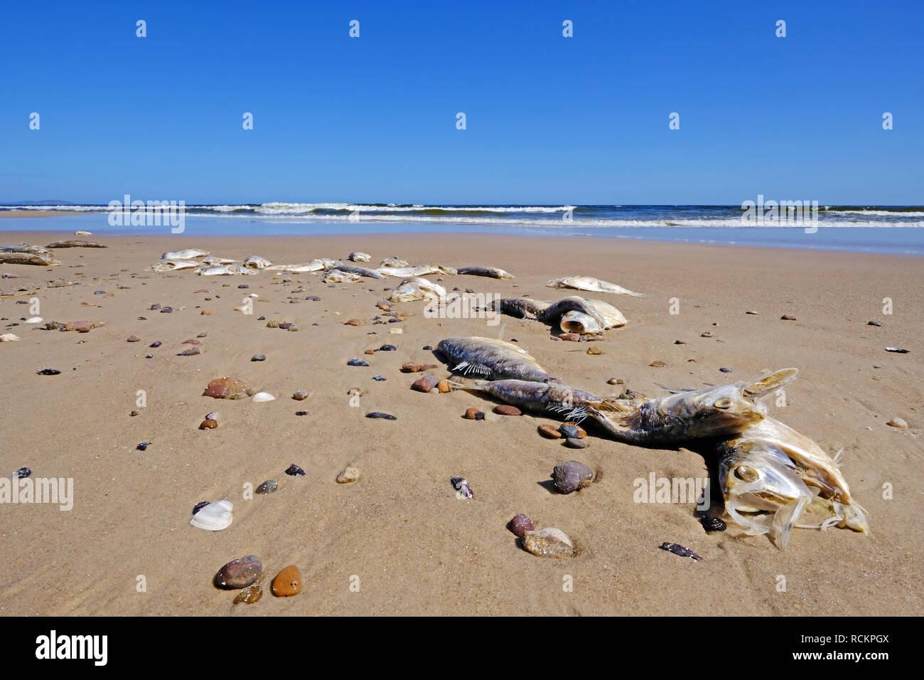 Dead fish on the beach, Uruguay, South America - Stock Image
