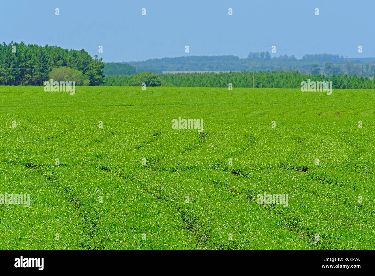 Beautiful green Mate tea plantation field in province Misiones, Argentina - Stock Image