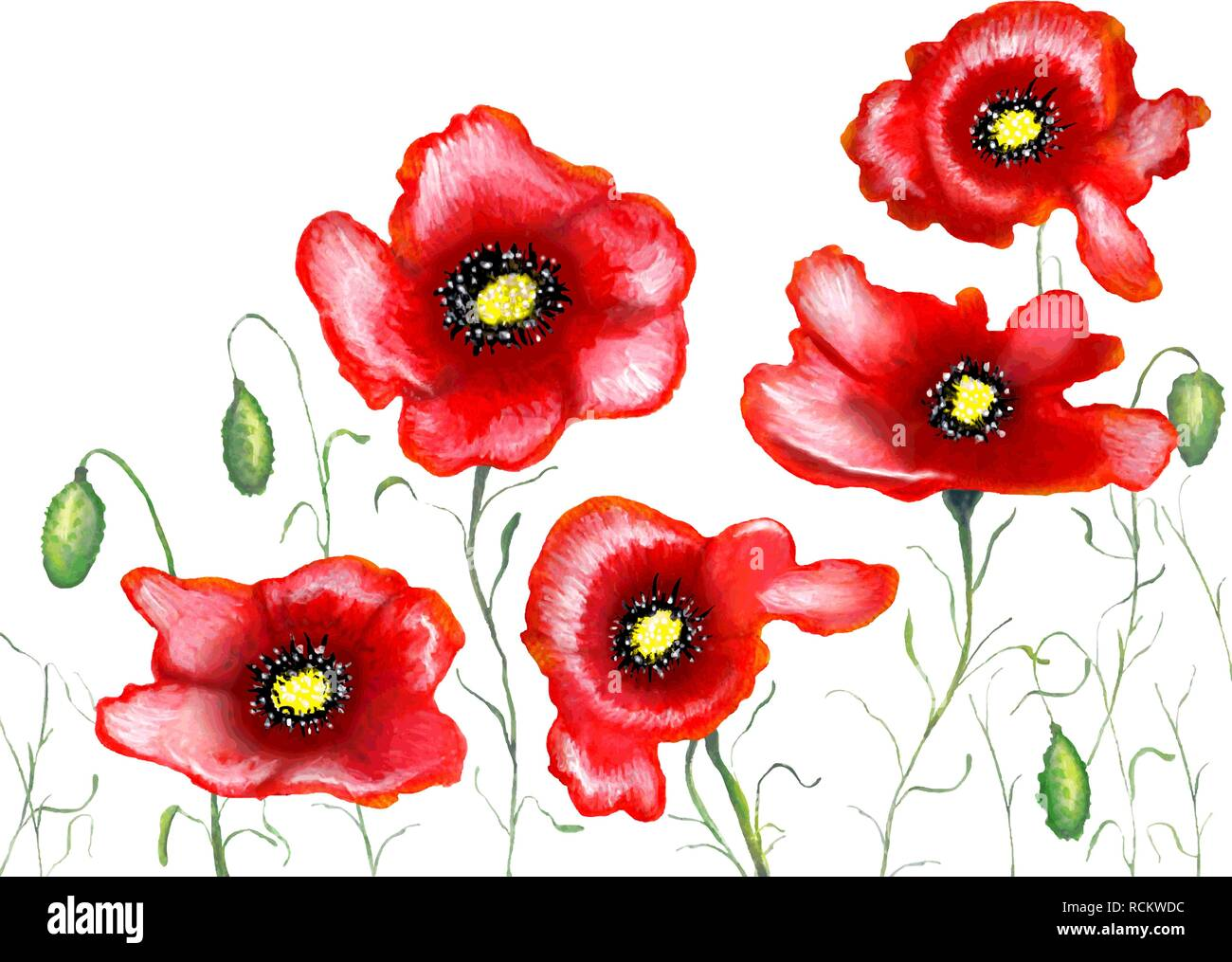 Red poppies on a white background, watercolor painting, vector illustration. - Stock Vector