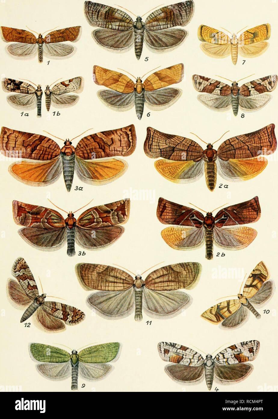 ". Die forstinsekten Mitteleuropas. Ein lehr- und handbuch. Trees; Beneficial insects. EscJiericli, Forstiiisckicii. III. Bd. Tafel n. Tortriciden I ^ i^""^nel del. 1 Acalla fcrrueana Tr. lau. b (S u. Q Varietät 2a u. b Cacoccia podana Sc. ß u. cf. /!a u. b C. picoana L- Qv. r^. 4 C. histrionnna Froel. Q. 5 C. murinana Hb. &;. 6 Pandemis ribeana Hb. U- 7 Torlrix forskaleana L. &'. 8 T. politnna Hic. £. 9 T. viridana L. cf- 1"" T. loefflingtana L. d- 11 T. viburniana Schiff, cf- 1'-' T. wahlbomiana L. ^. Vergr. 2'jmal.. Please note that these images are extracted from scanned pag - Stock Image"
