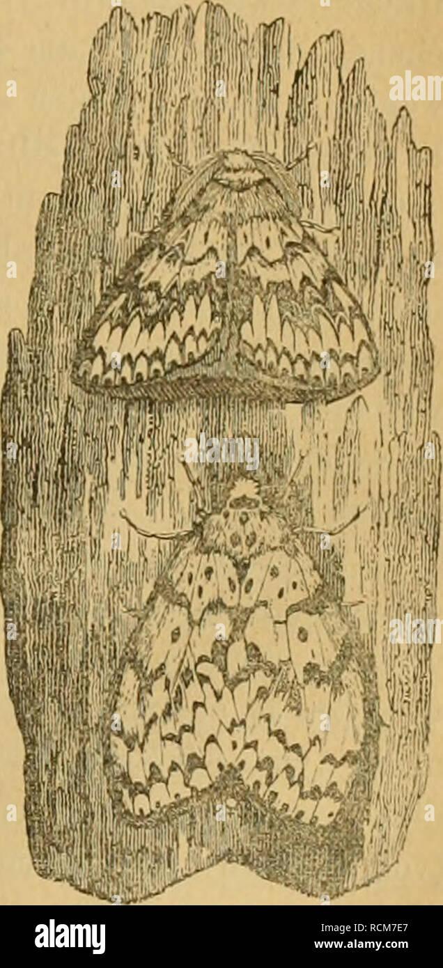 . Die forst-insecten : oder Abbildung und beschreibung der in den wäldern Preussens und der nachbarstaaten als schädlich oder nützlich bekannt gewordenen insecten ; in systematischer folge und mit besonderer rücksicht auf die vertilgung der schèadlichen. Im auftrage des chefs der zweiten abtheilung des Kèonigl. Preuss. ; Haus-ministeriums Herrn geheimen staats-ministers von Ladenberg excellenz, herausgegeben. Forest insects. BOMBYX MONACHA. ChARACTERISTIK. 91 dem rosenrothen Hinterleibe entnommen. Daher auch im Französischen Je Zifjzcuj a vodrerouge. An- dere Artnamen hat das Thier nie geliabt - Stock Image