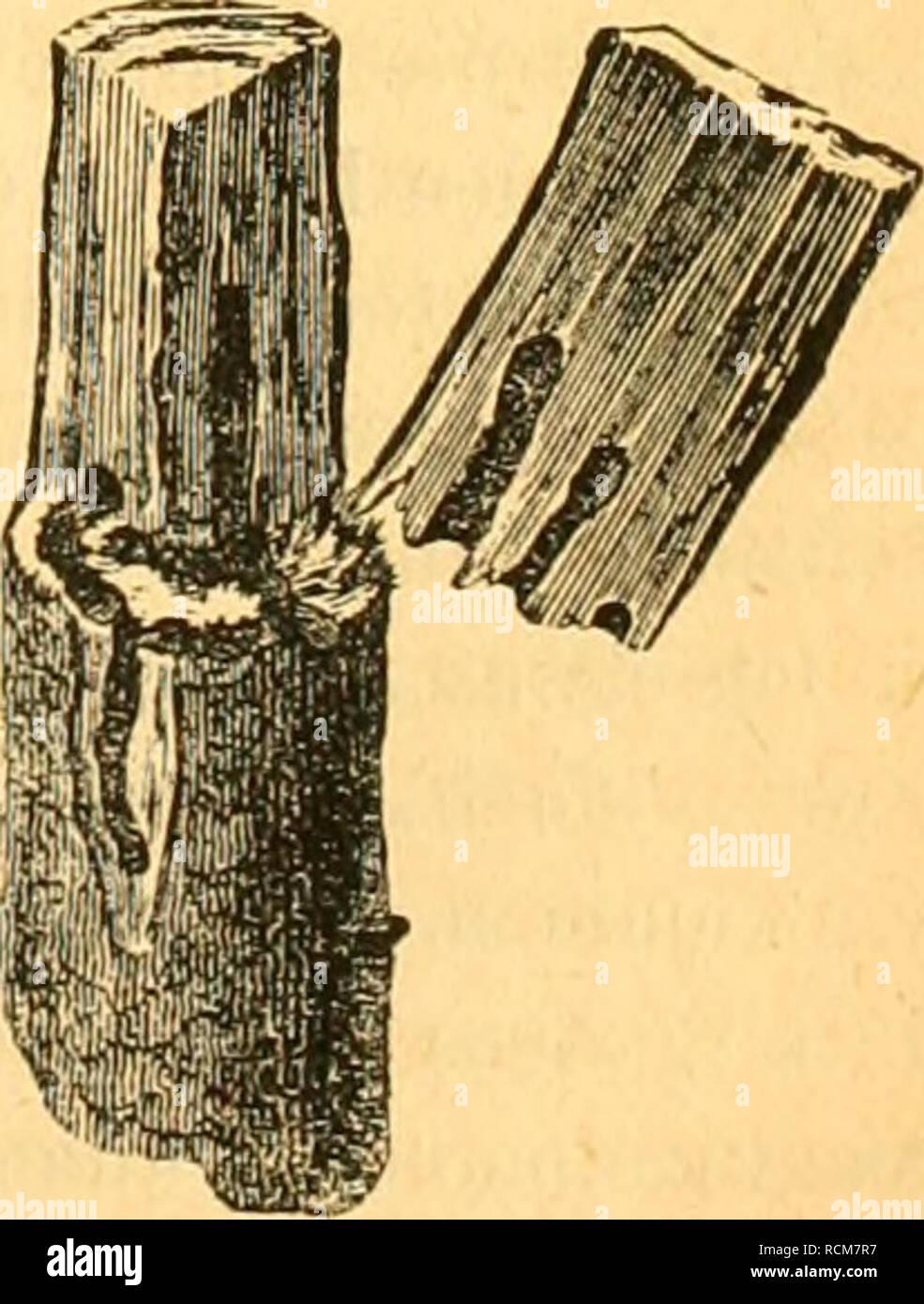 . Die forst-insecten oder Abbildung und beschreibung der in den wäldern Preussens und der nachbarstaaten als schädlich oder nützlich bekannt gewordenen insecten; in systematischer folge und mit besonderer rücksicht auf die vertilgung der schädlichen. Im auftrage des chefs der zweiten abtheilung des Königl. Preuss. Forest insects. BOSTRICHTJS DiSPAE. VORKOMMEN. 205 nicht gerunzelten Zwischenräume. Die abschüssige Stelle ziemlich gewölbt und oben schräg absteigend, mit vertieften Punktreihen und erhabenen, fein gekörnelten Zwischenräumen. Dunkelbraun oder schwarz, stark behaart. Das dunkelbraune Stock Photo