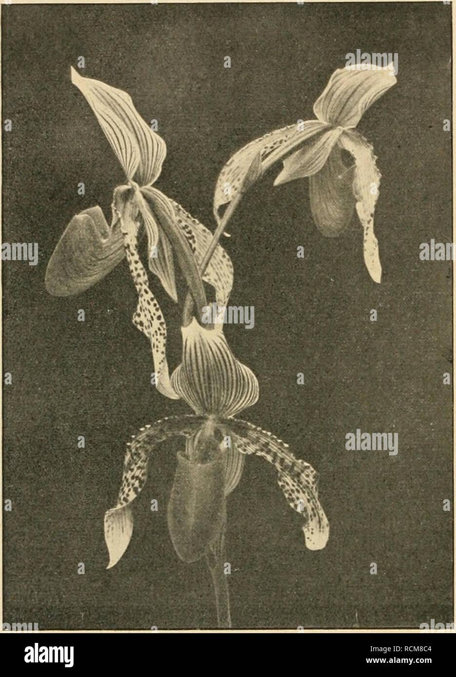 . Die Gartenwelt. Gardening. 42 Die Gartenwelt. XXIV, 5. Cypripedium Fischbeckianum, Blütenstand. Herbst fanden dann noch die durch ihre merkwürdige Gieß- brausenform interessanten Fruchtstände viele Bewunderer. Nachdem uns im Jahre 1915 die Verpflichtung wurde, die Beheizung des Beckens einzustellen, um an Heizmaterial und Kosten jeder Art zu sparen, ging es mit dei- schönen Lotosblume bald abwärts. Im ersten Jahre nach Einstellung der Erwärmung des Wassers war zwar die Entwicklung der Blätter noch verhältnismäßig gut, aber die der Blüten doch sdion ziemlich dürftig. Im zweiten Jahre erschien Stock Photo