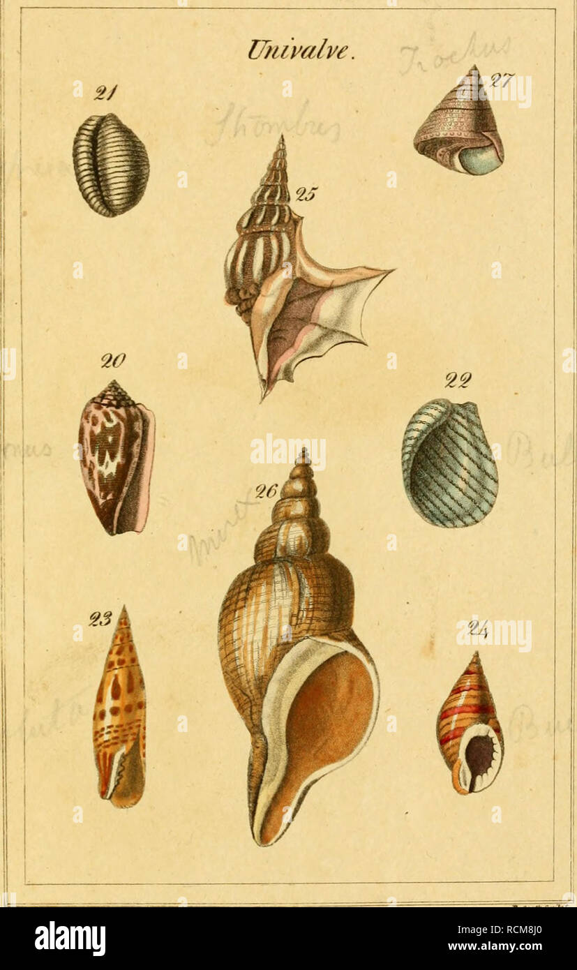 . The elements of conchology, or, Natural history of shells : according to the Linnean system : with observations on modern arrangements. Shells; Shells. Genera. FlateS=^. Please note that these images are extracted from scanned page images that may have been digitally enhanced for readability - coloration and appearance of these illustrations may not perfectly resemble the original work.. Brown, Thomas, 1785-1862; Brown, Thomas, 1785-1862, ill; Scott, Robert, 1777-1841, engraver; Dall, William Healey, 1845-1927, former owner. DSI; Hazard, Robert, former owner. DSI; Hazard, John Henry, former - Stock Image