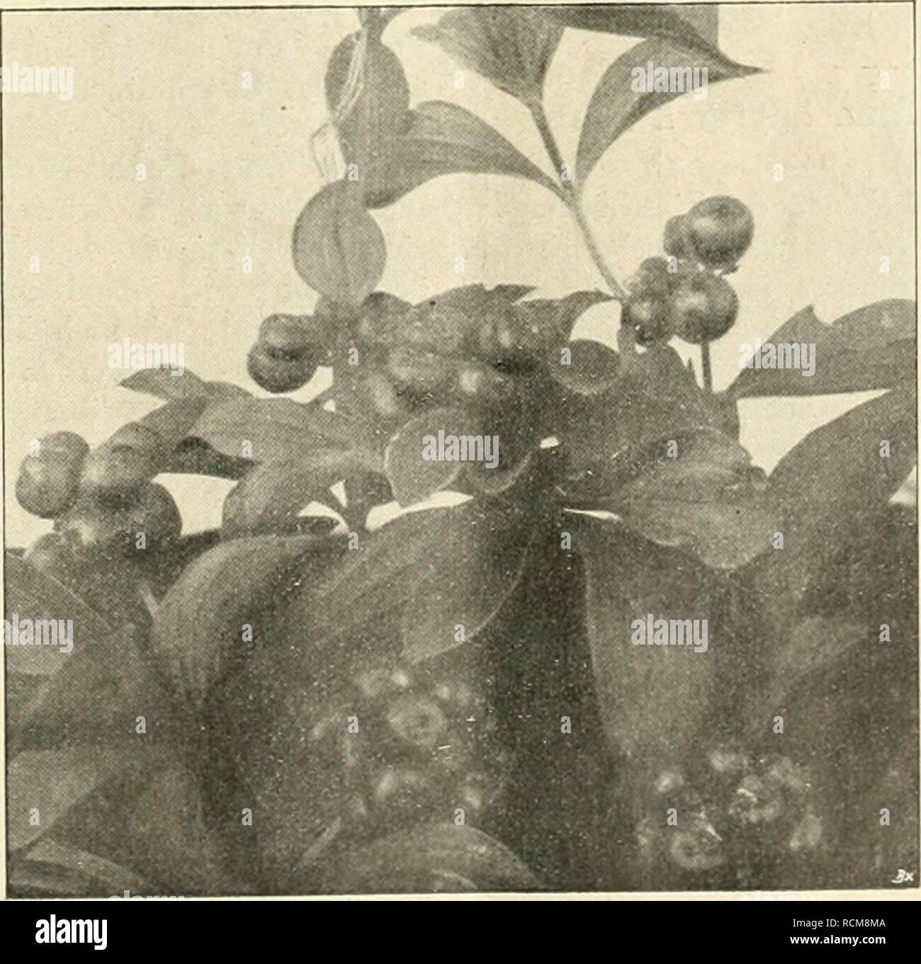 . Die Gartenwelt. Gardening. XXI, Die öartenwelt. 507 eingeschnittenen Lappen geteilten, zart grünem, glänzenden Blatte teilt. Im Mai erscheinen, unter dem Laube versteckt, die weißen, hängenden Blüten, denen dann später die pflaumengroßen, gold- gelben Früchte folgen. Im Park wie im Alpinum. hier aber an nördlicher halbschalliger Stelle, sind die Fußblätter recht vorteilhaft zu verwenden. In mit Torf, Sand und Lauberde verbessertem Boden gedeihen die Pflanzen recht üppig; zu- mal Podophyllum Emodi majas entwickelt sich bald zu einem kräftigen Busche von 80 — 90 cm Höhe. Für schattigere Gehölz - Stock Image