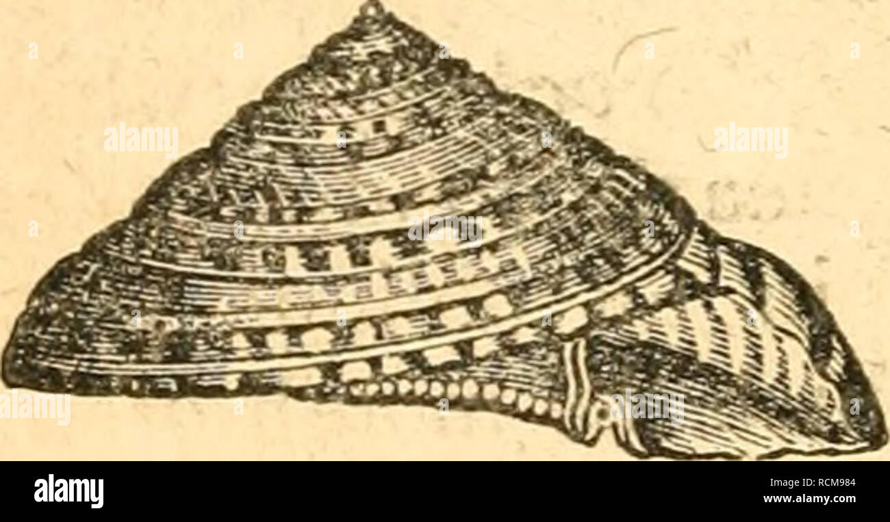 . Elements of conchology / Prepared for the use of schools and colleges. Mollusks. 46 TROCHUS. form {fg. 37), with a quadrangular aperture, and an extremely flaring umbilicus {fig. 38, u) ; the anterior edges of all the invo-. Please note that these images are extracted from scanned page images that may have been digitally enhanced for readability - coloration and appearance of these illustrations may not perfectly resemble the original work.. Ruschenberger, W. S. W. (William Samuel Waithman), 1807-1895; Comté, Achille, 1802-1866; Milne-Edwards, H. (Henri), 1800-1885. Philadelphia : Grigg &amp - Stock Image