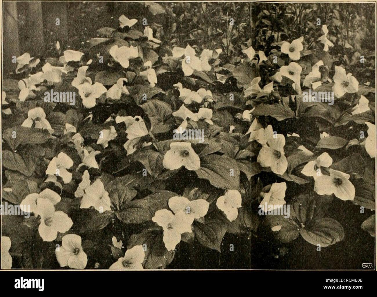 """. Die Gartenwelt. Gardening. 442 Die Gartenwelt. XVI, 32. Trillium grandiflorum. Originalaufnahme für die """"Gartenwelt"""". Gemüsebau. Das neue runde Riesen-Butter-Treibradies, eine Züchtung von F. C. Heinemann, Erfurt, verdient nach meinen Erfahrungen die wärmste Empfehlung. Es besitzt eine schöne, gleichmäßig runde Form von scharlachroter Färbung, sein Fleisch ist sehr wohl- schmeckend und steht in nichts dem Wohlgeschmack der gewöhn- lichen kleinen Sorten nach. Diese hervorragende Neuheit über- trifft das Erfurter Riesen- treibradies schon des- halb, weil sie kurzlaubi- ger ist. Für Treibk Stock Photo"""